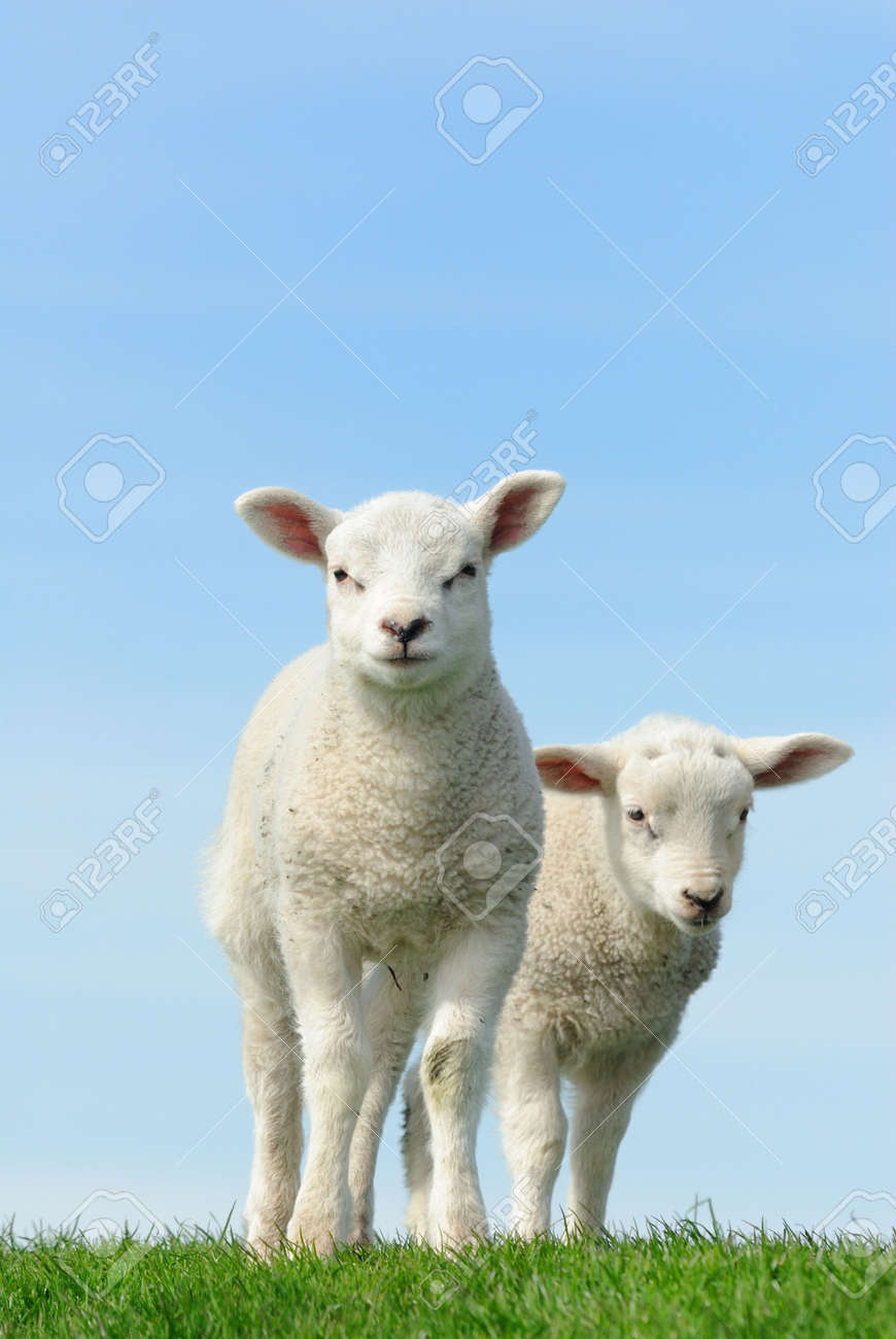 Cute lambs in spring, Friesland The Netherlands Standard-Bild - 6841601
