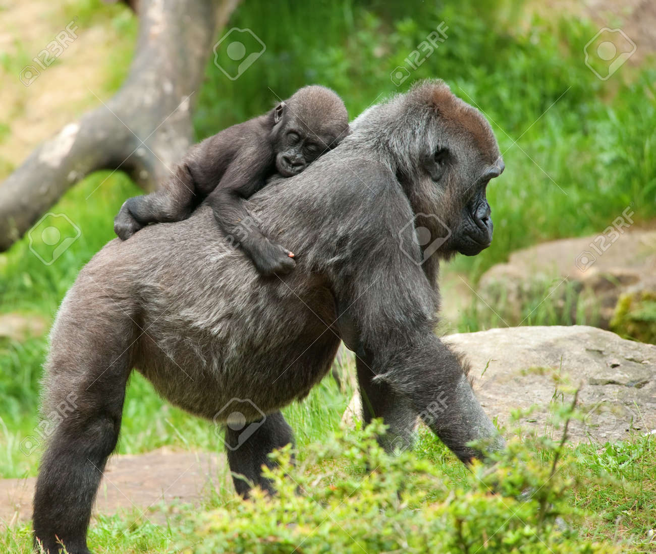 close-up of a cute baby gorilla and mother Standard-Bild - 7149935