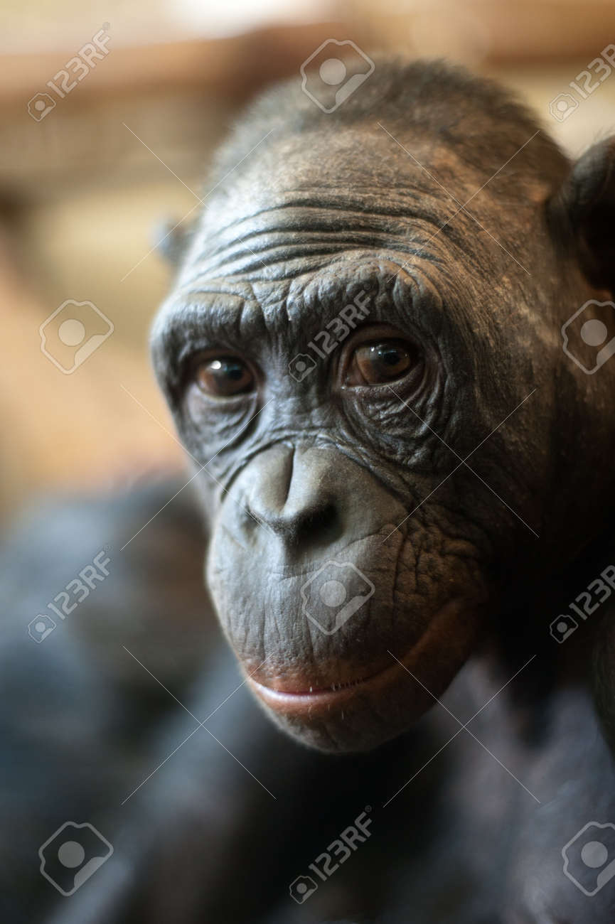 Portrait of a  Bonobo monkey (Pan paniscus) Stock Photo - 7149941