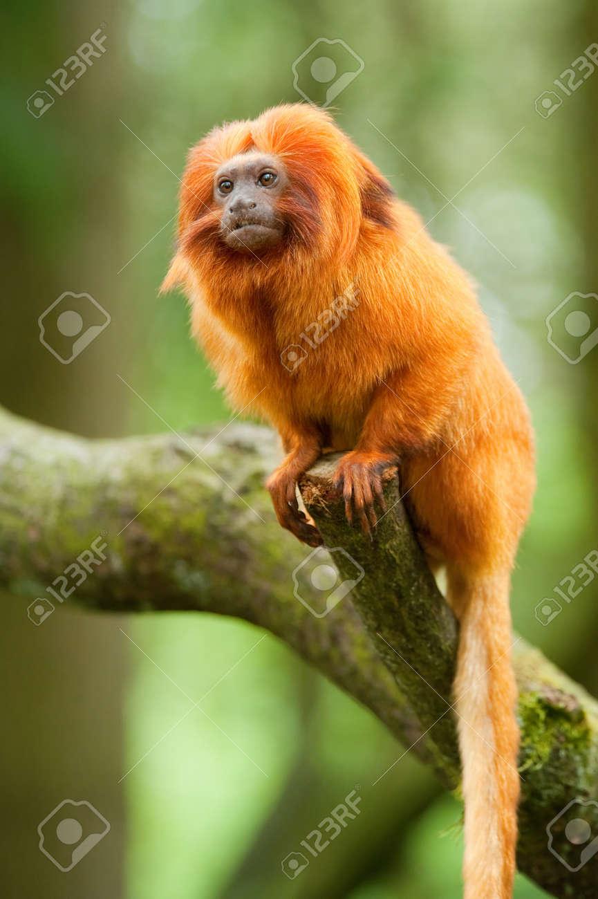 cute goldene Löwe Tamarin (Leontopithecus Rosalia) Standard-Bild - 8278168