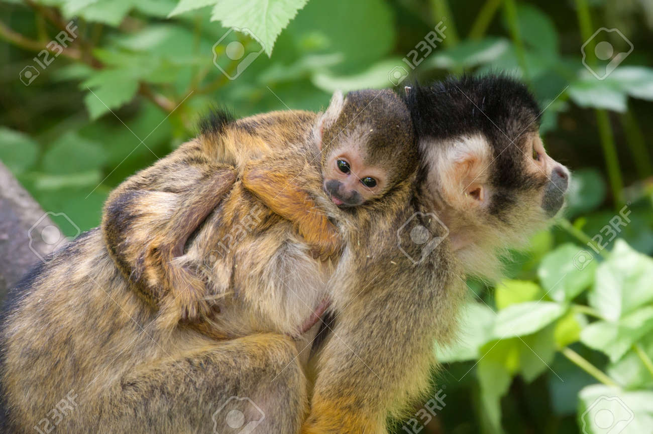 cute squirrel monkey with baby (Saimiri) subfamily: saimiriinae Standard-Bild - 8278159