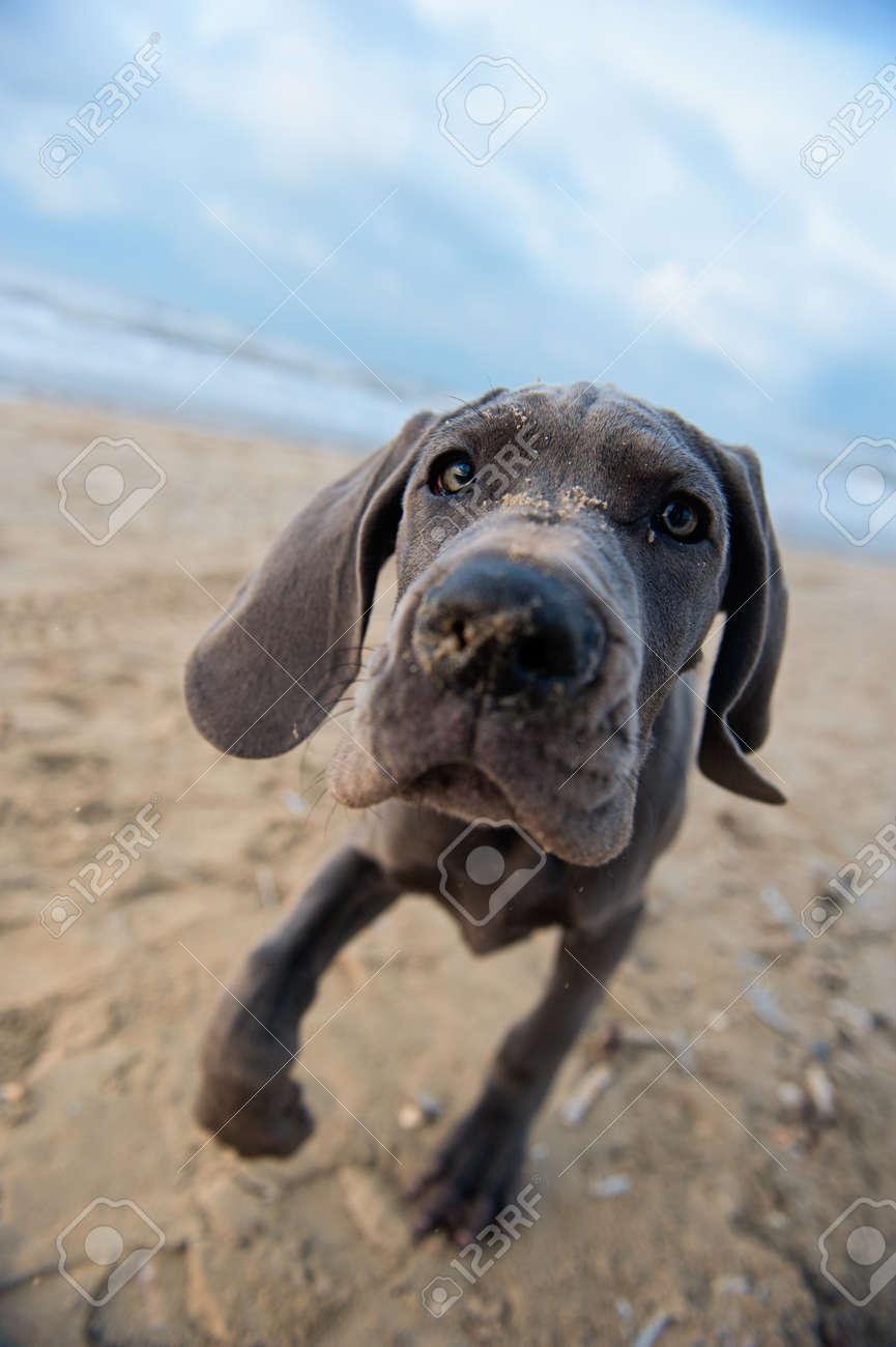 Beautiful Great Dane puppy on the beach Standard-Bild - 8367892