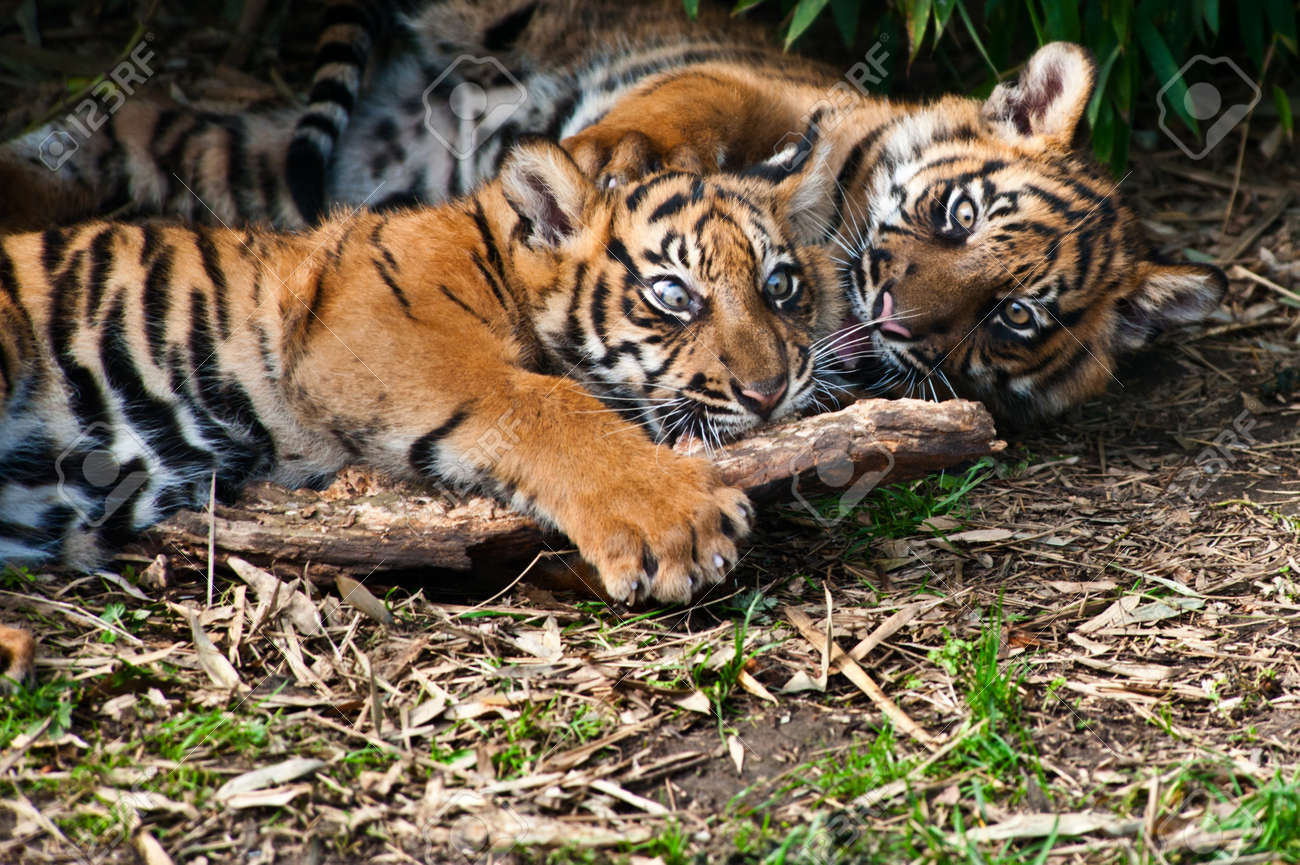 Two cute  sumatran tiger cubs playing on the forest floor Standard-Bild - 8811642