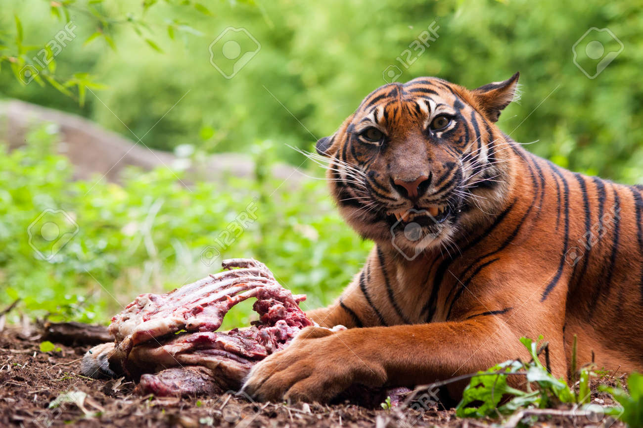 Sumatran tiger eating its prey on the forest floor Stock Photo - 8822000