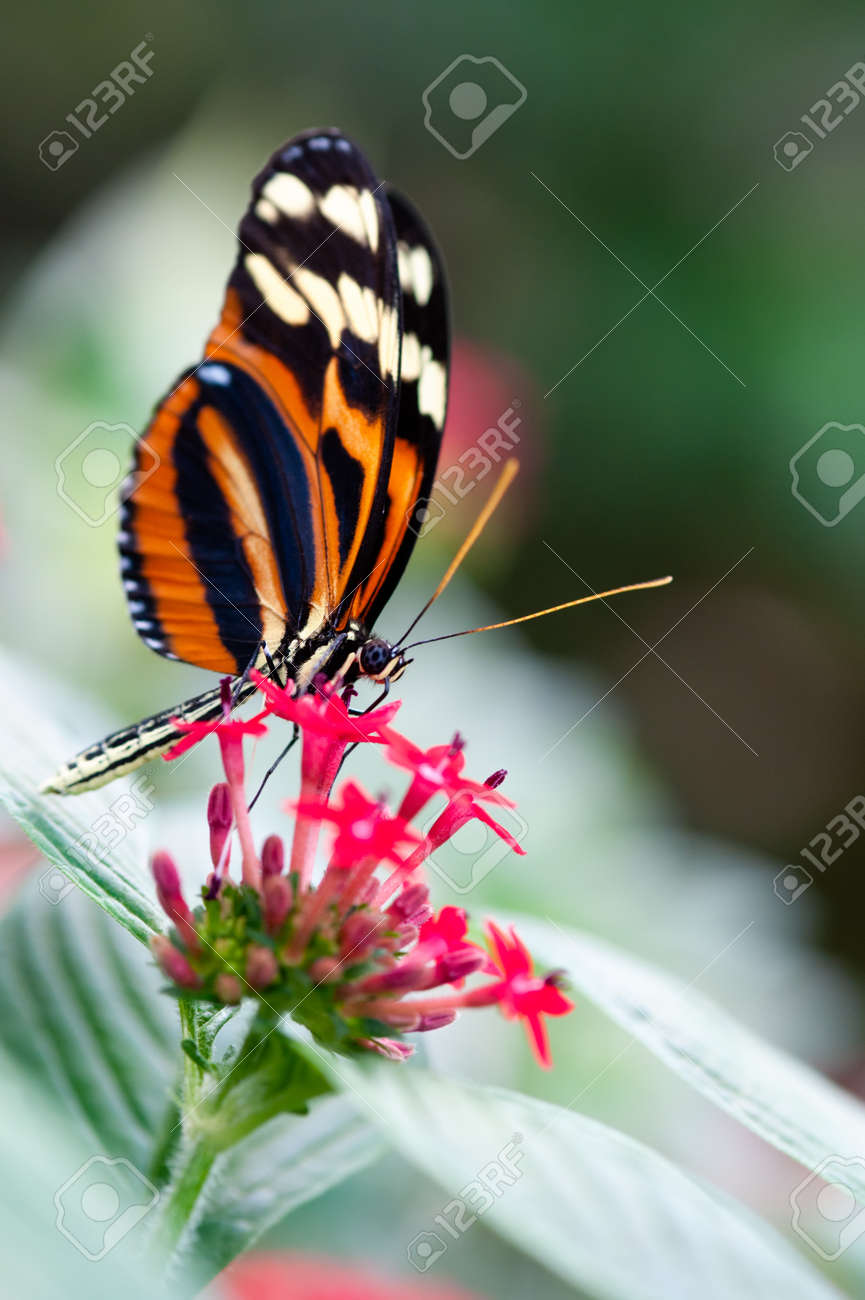 heliconius xanthocles longwing butterfly on a flower Standard-Bild - 8989936