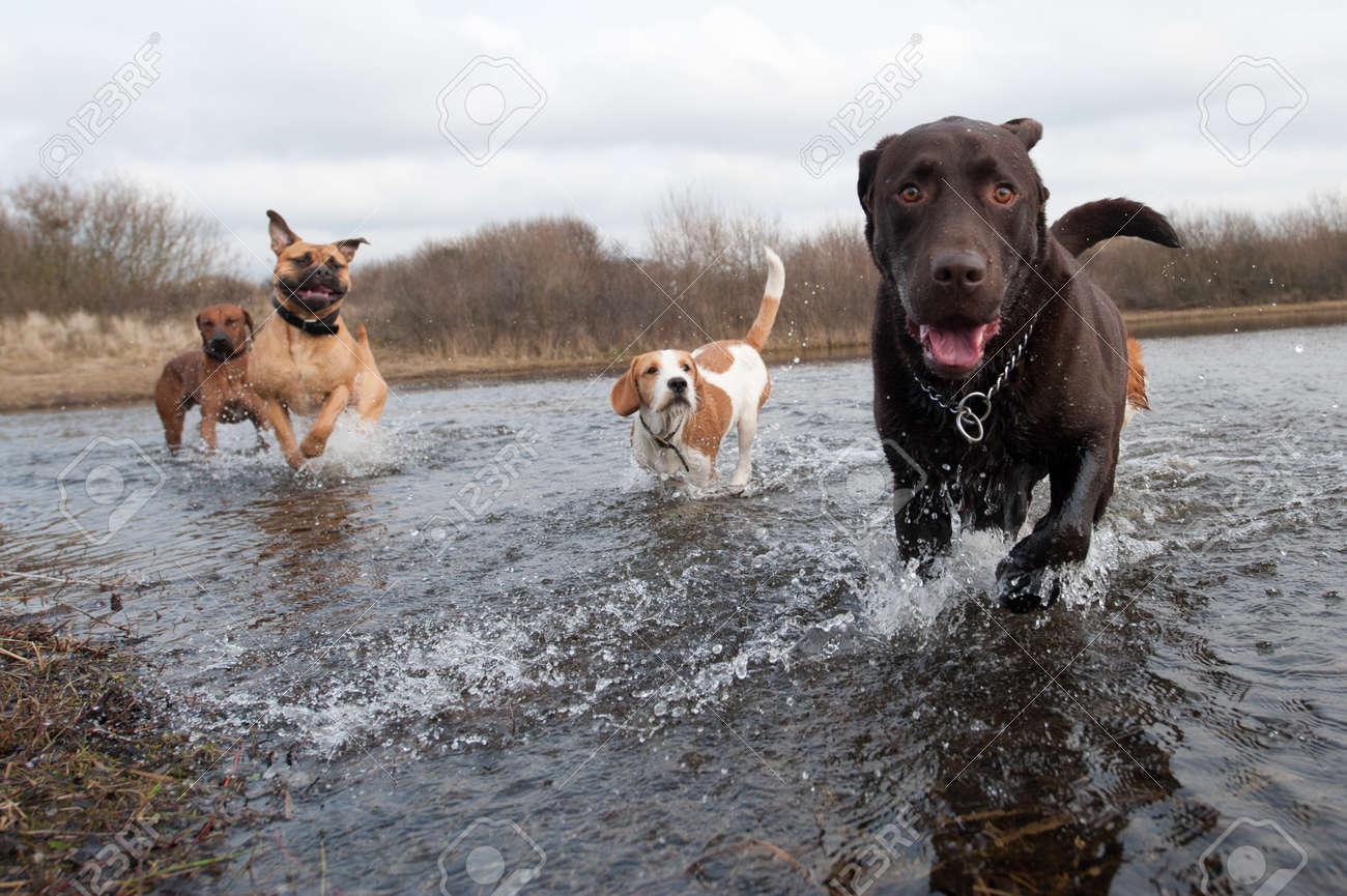 Labrador Retriever and friends having fun in the water Standard-Bild - 8989942