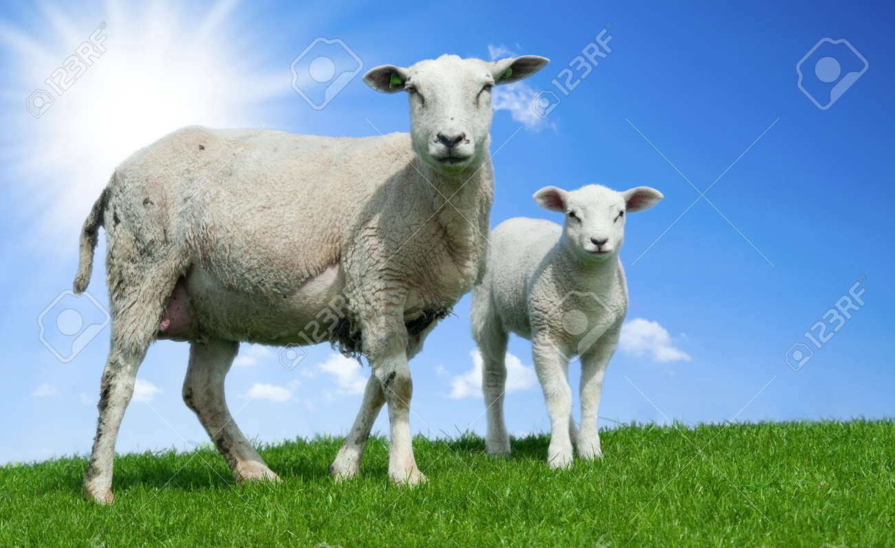 Mother sheep and her lamb in spring, Friesland The Netherlands Standard-Bild - 9270620