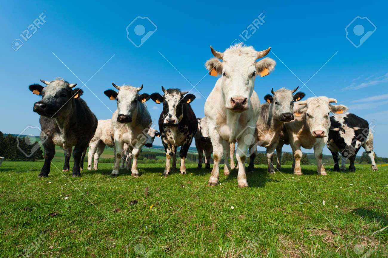 Cows on on farmland in the Ardennes, Belgium Stock Photo - 9438512