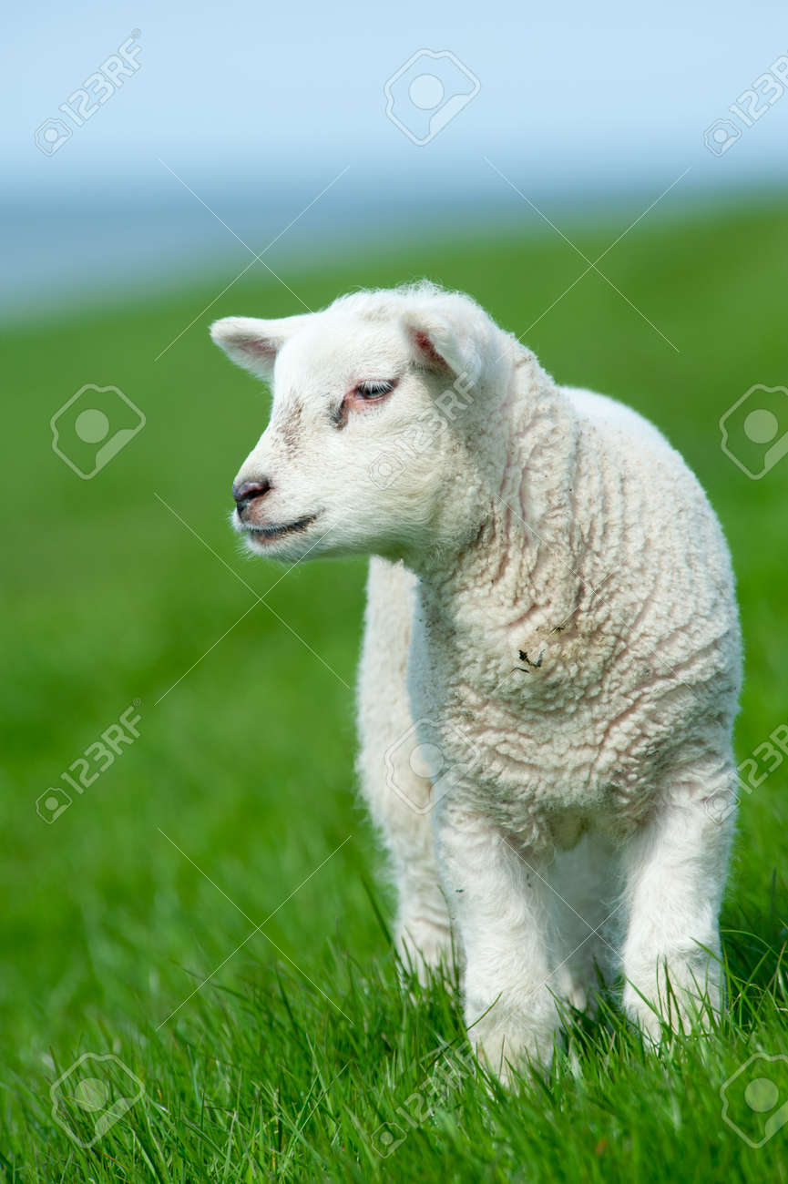 cute lamb in spring, The Netherlands Standard-Bild - 9438478