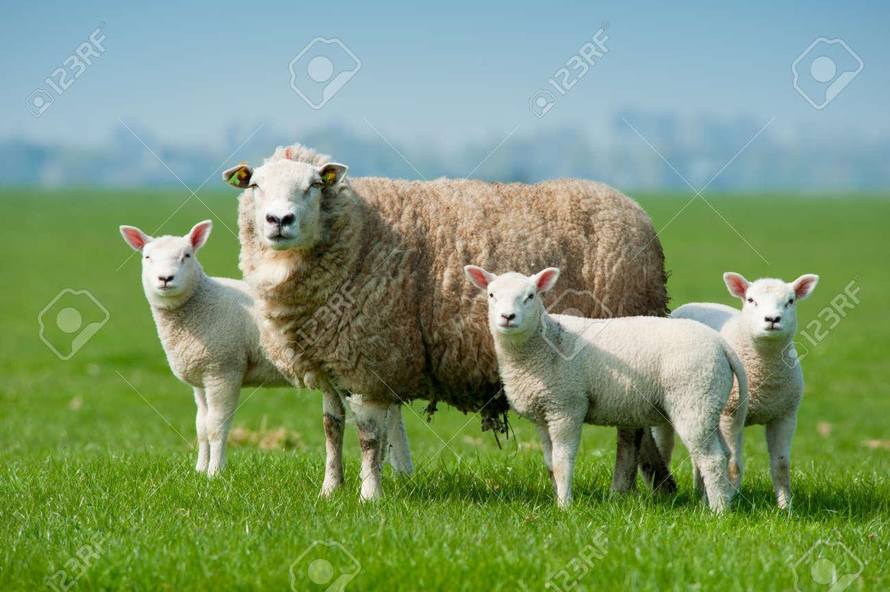 Mutter Schafe und ihre Lämmer im Frühjahr, Niederlande Standard-Bild - 9438507