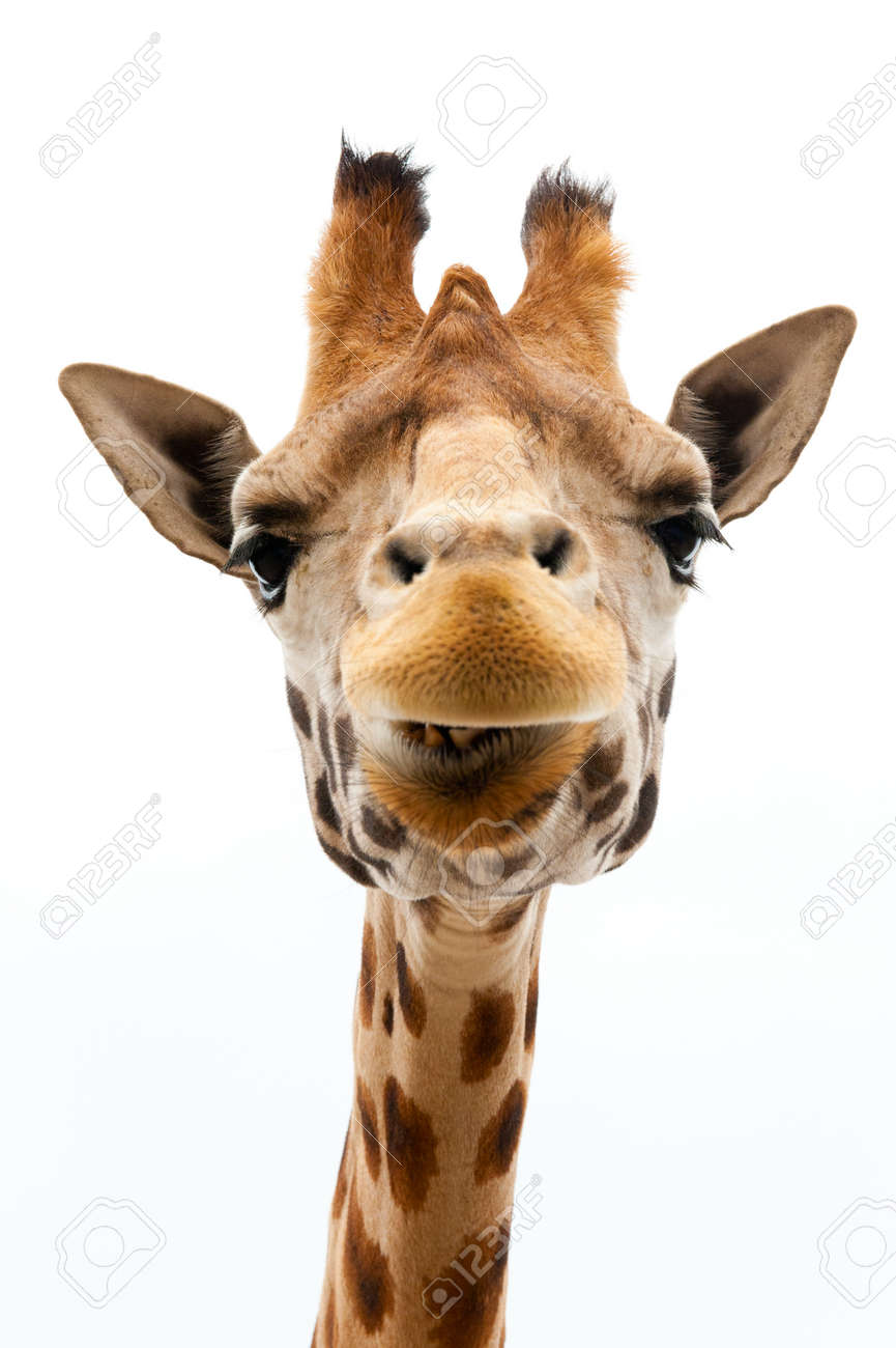 Close-up of a Funny Giraffe on a white background Standard-Bild - 9749440