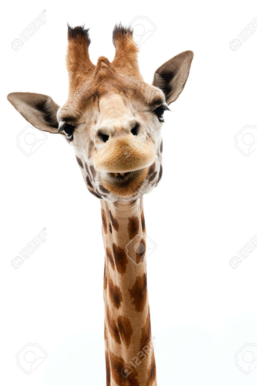 Close-up of a Funny Giraffe on a white background Standard-Bild - 9749439