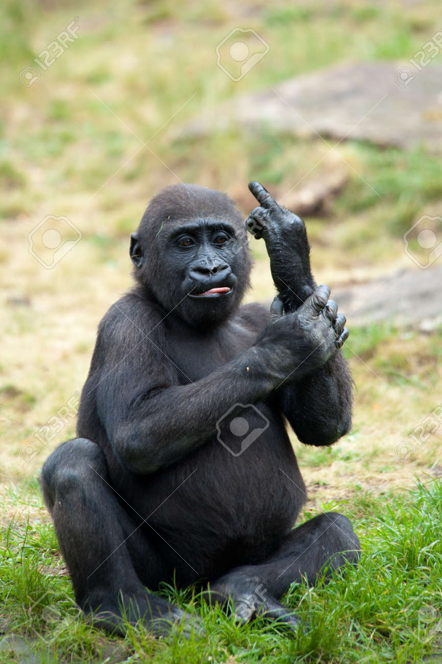 Funny image of a young gorilla sticking up its middle finger Standard-Bild - 9993678
