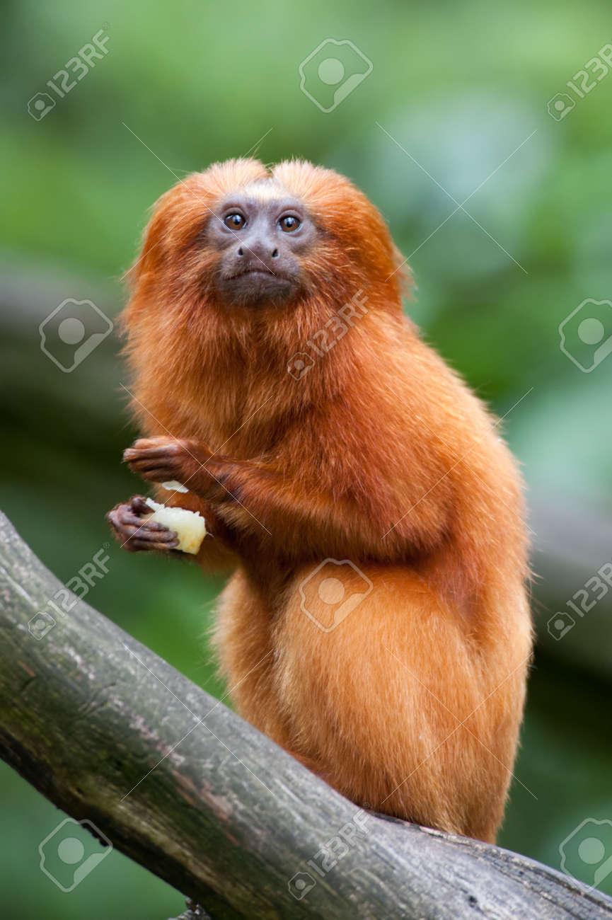 Ein Golden Lion Tamarin (Leontopithecus rosalia) Standard-Bild - 9993657