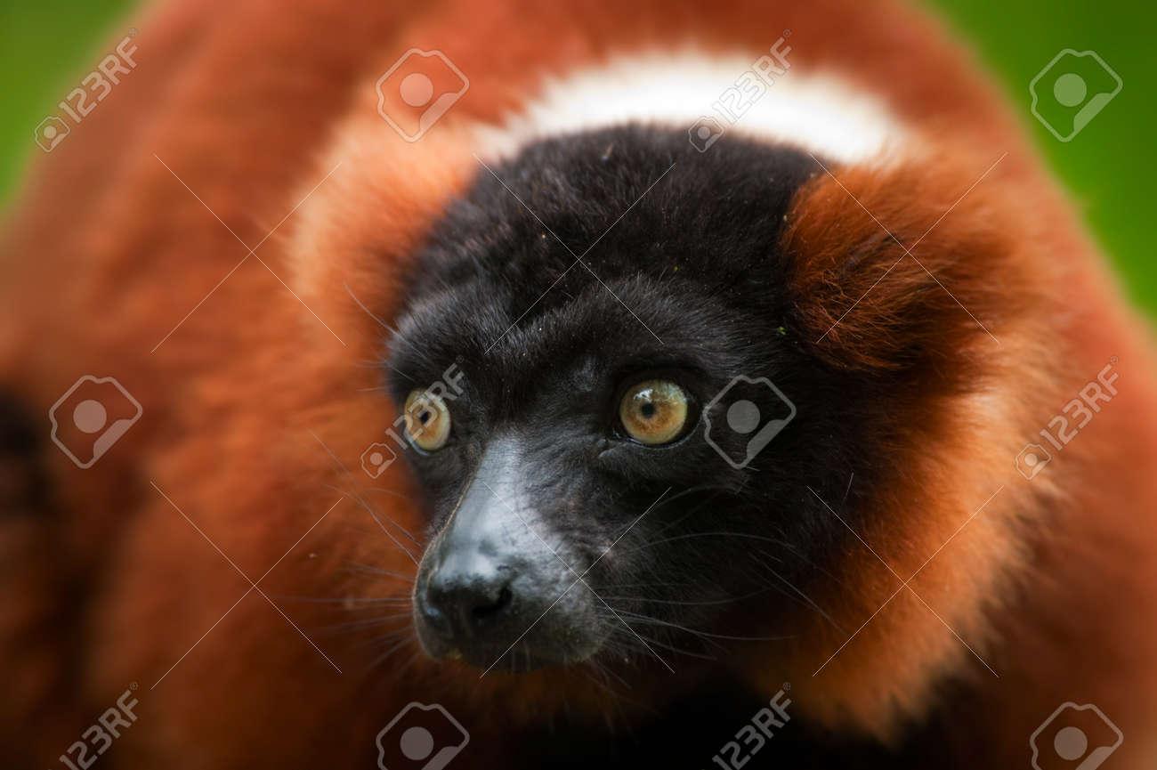 a beautiful red ruffed lemur (Varecia rubra) Stock Photo - 9993656