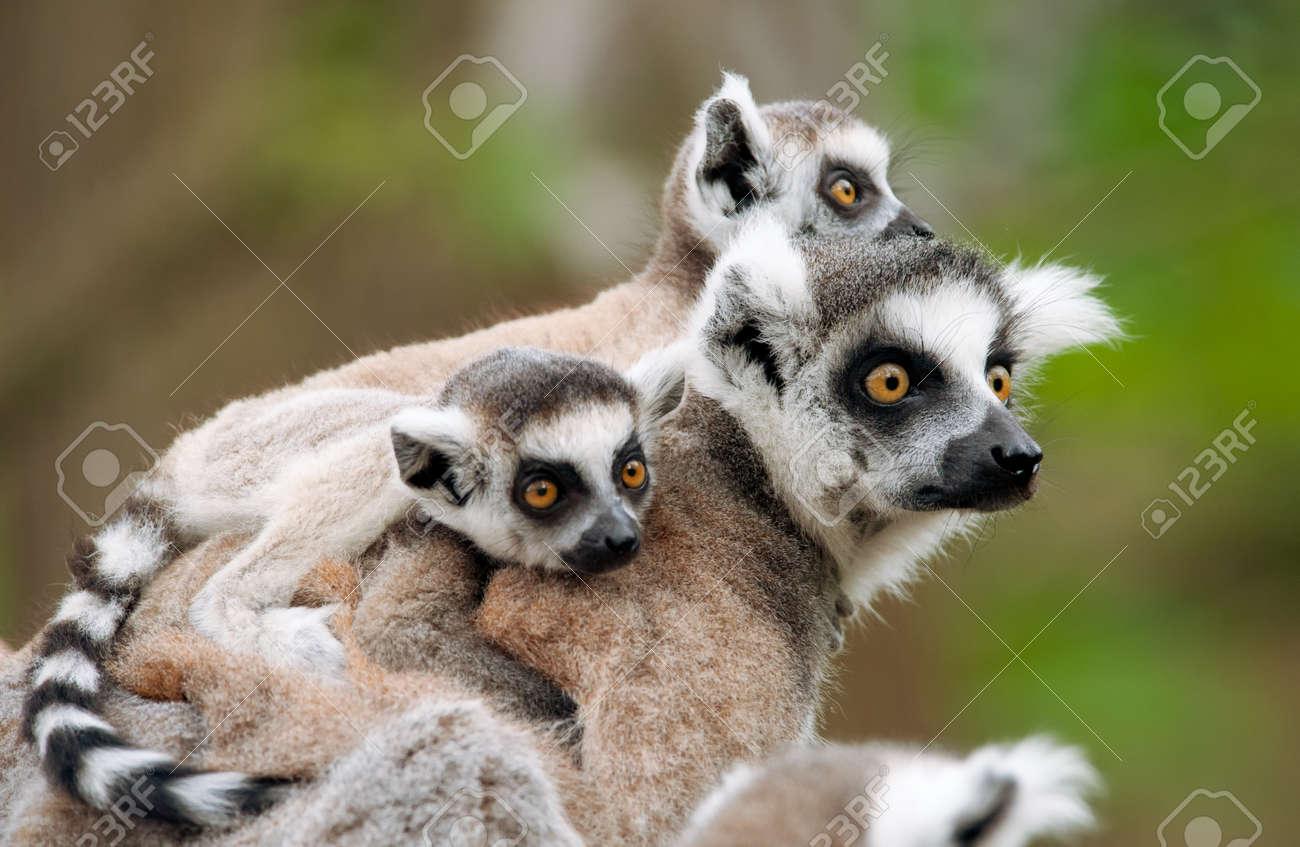 Nahaufnahme der Katta mit ihrem hübsch Babys (Lemur Catta) Standard-Bild - 9993671