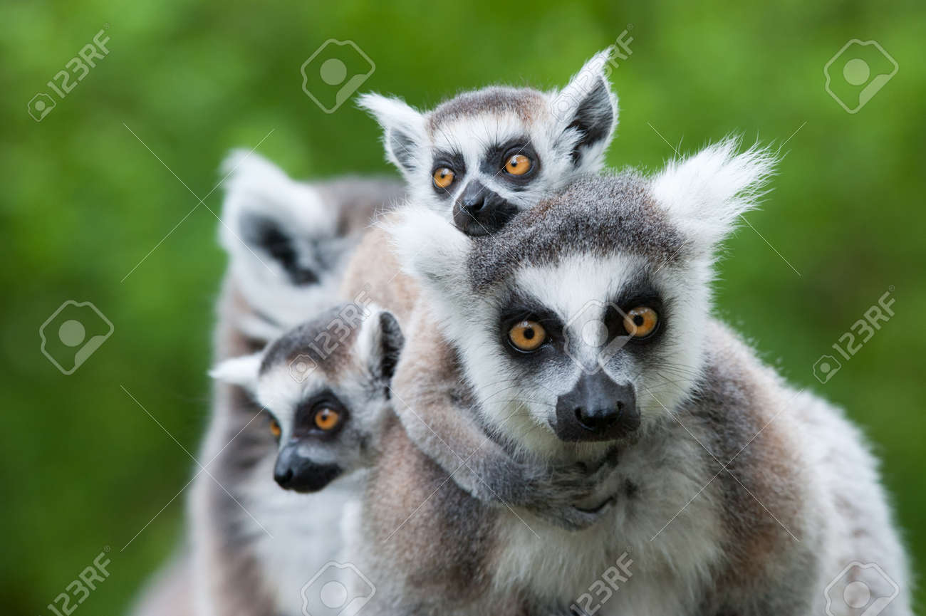 close-up of a ring-tailed lemur with her cute babies (Lemur catta) Standard-Bild - 9993665