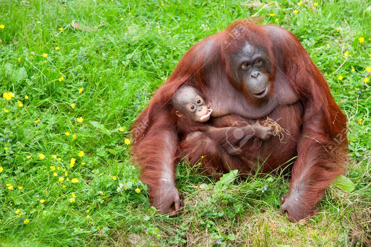Mother orangutan with her cute baby in the grass Standard-Bild - 9993698