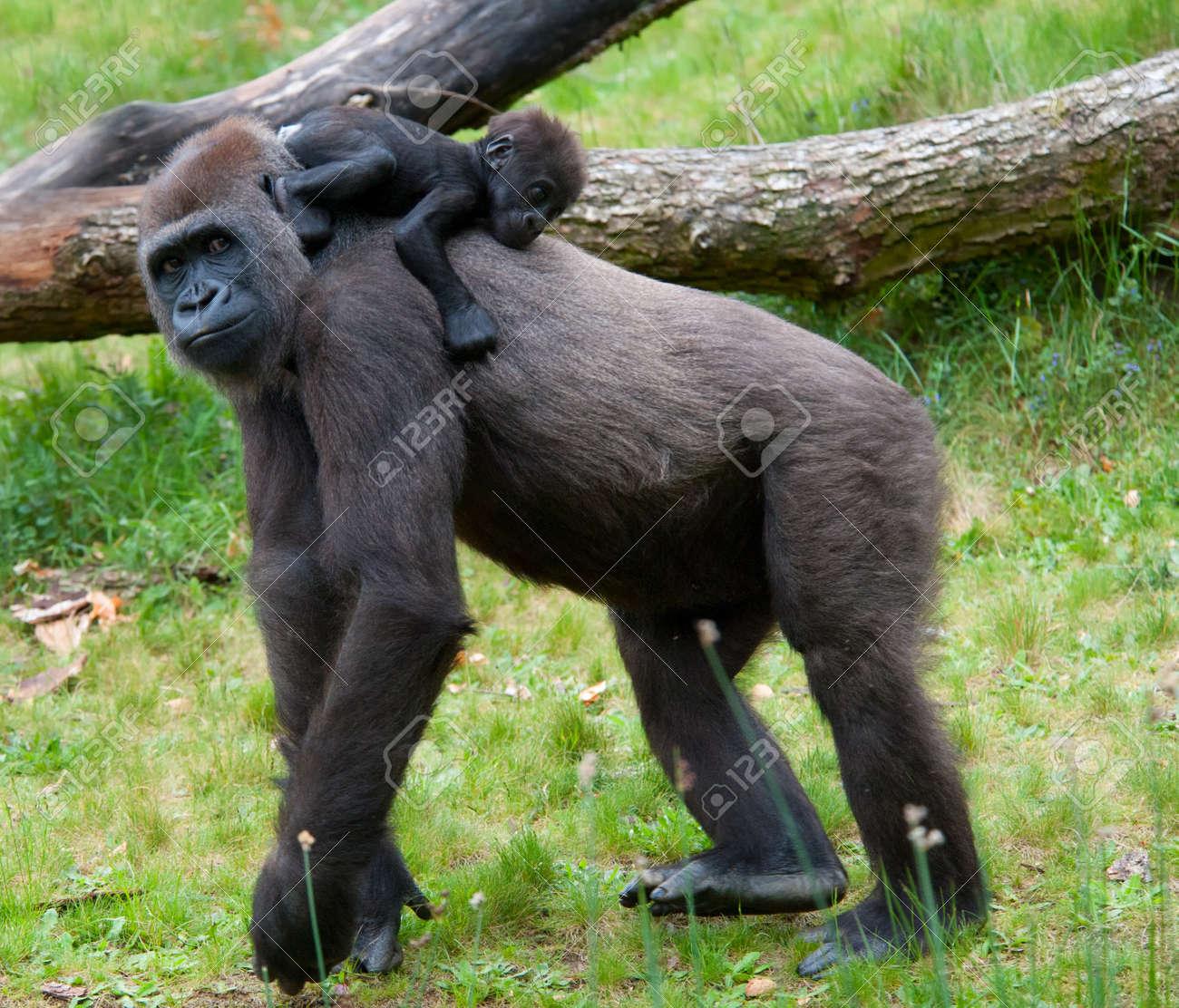Nahaufnahme von einer Mutter, Gorilla und ihr süßes Baby Standard-Bild - 9993676