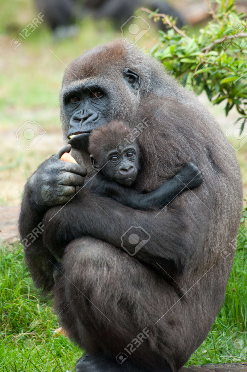 close-up of a mother gorilla and her cute baby Standard-Bild - 9993667