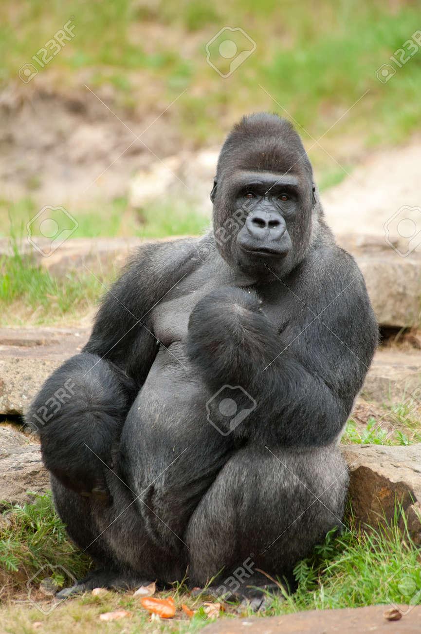 Close-up eines großen männlichen Gorilla Silberrücken Standard-Bild - 9993693