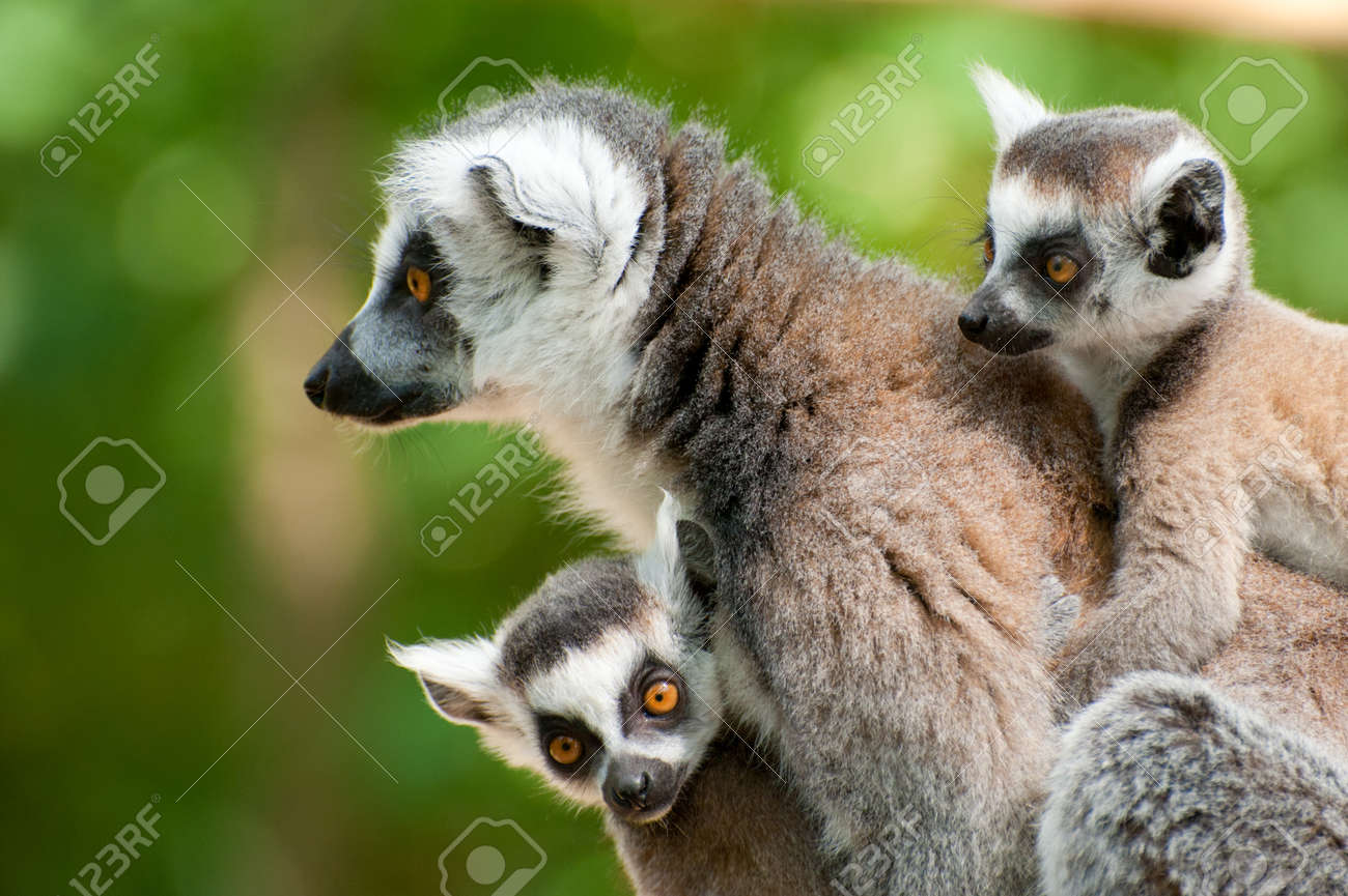 close-up of a ring-tailed lemur with her cute babies (Lemur catta) Standard-Bild - 9993679