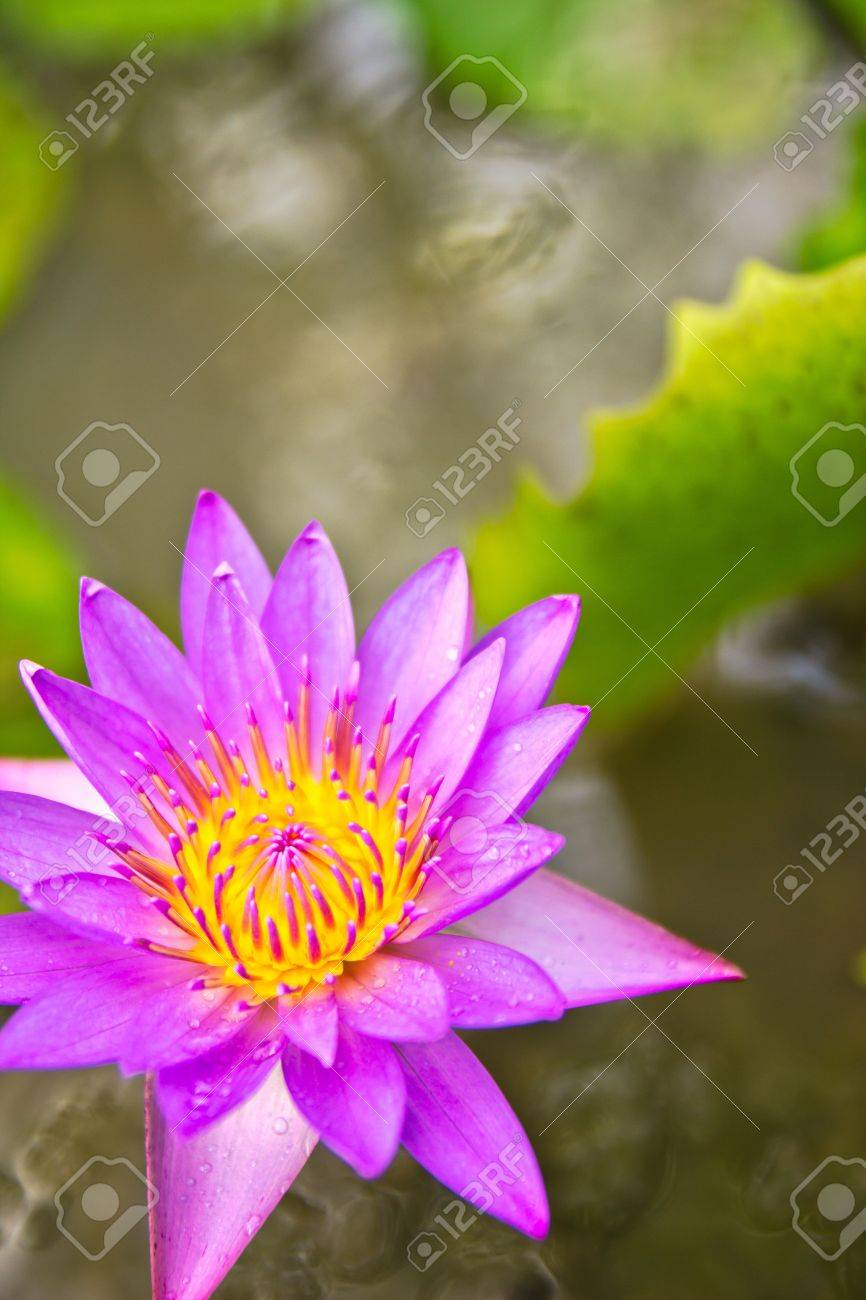 The purple lotus flower holds great symbolic meaning in a number stock photo the purple lotus flower holds great symbolic meaning in a number of cultures especially in asia thailand and egypt going back thousands of izmirmasajfo Gallery