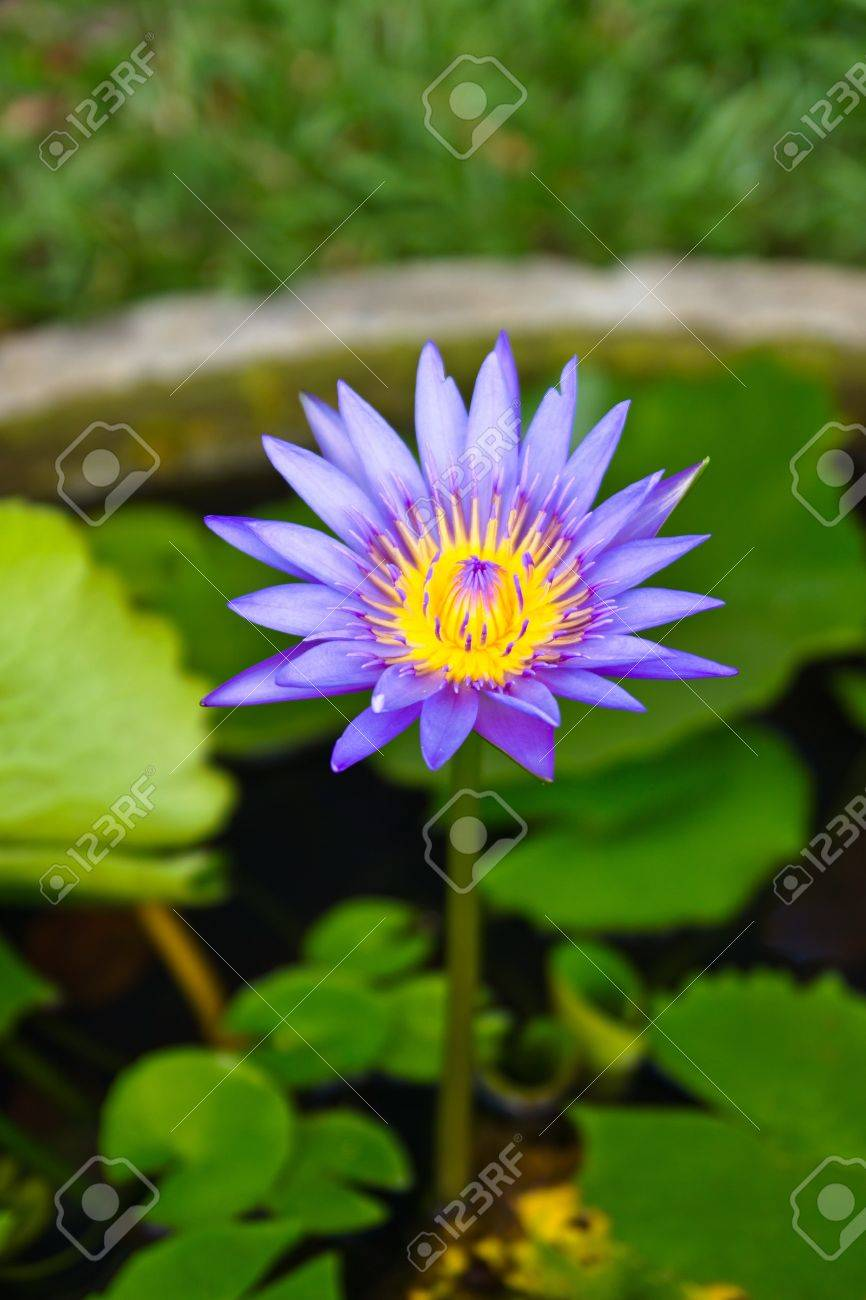 Purple lotus flowers grow in muddy waters and feature a pristine purple lotus flowers grow in muddy waters and feature a pristine bloom above the surface this mightylinksfo