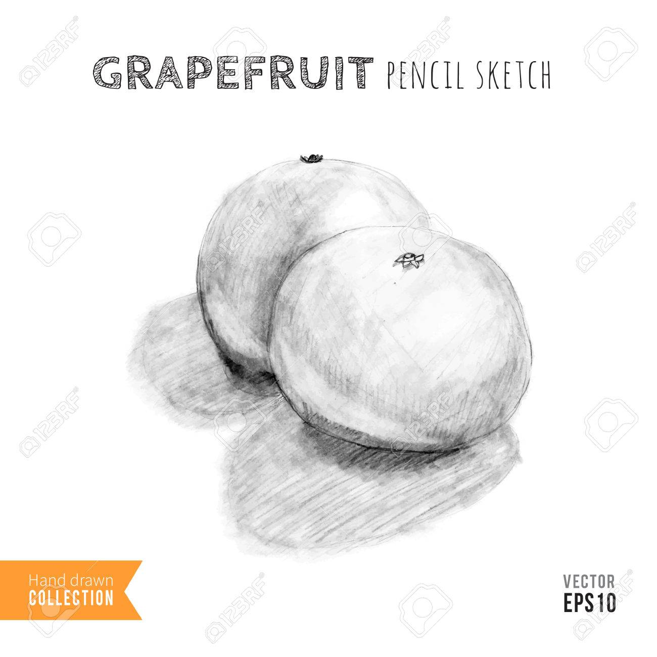 Two grapefruits hand drawn pencil sketch training drawing vector illustration stock vector