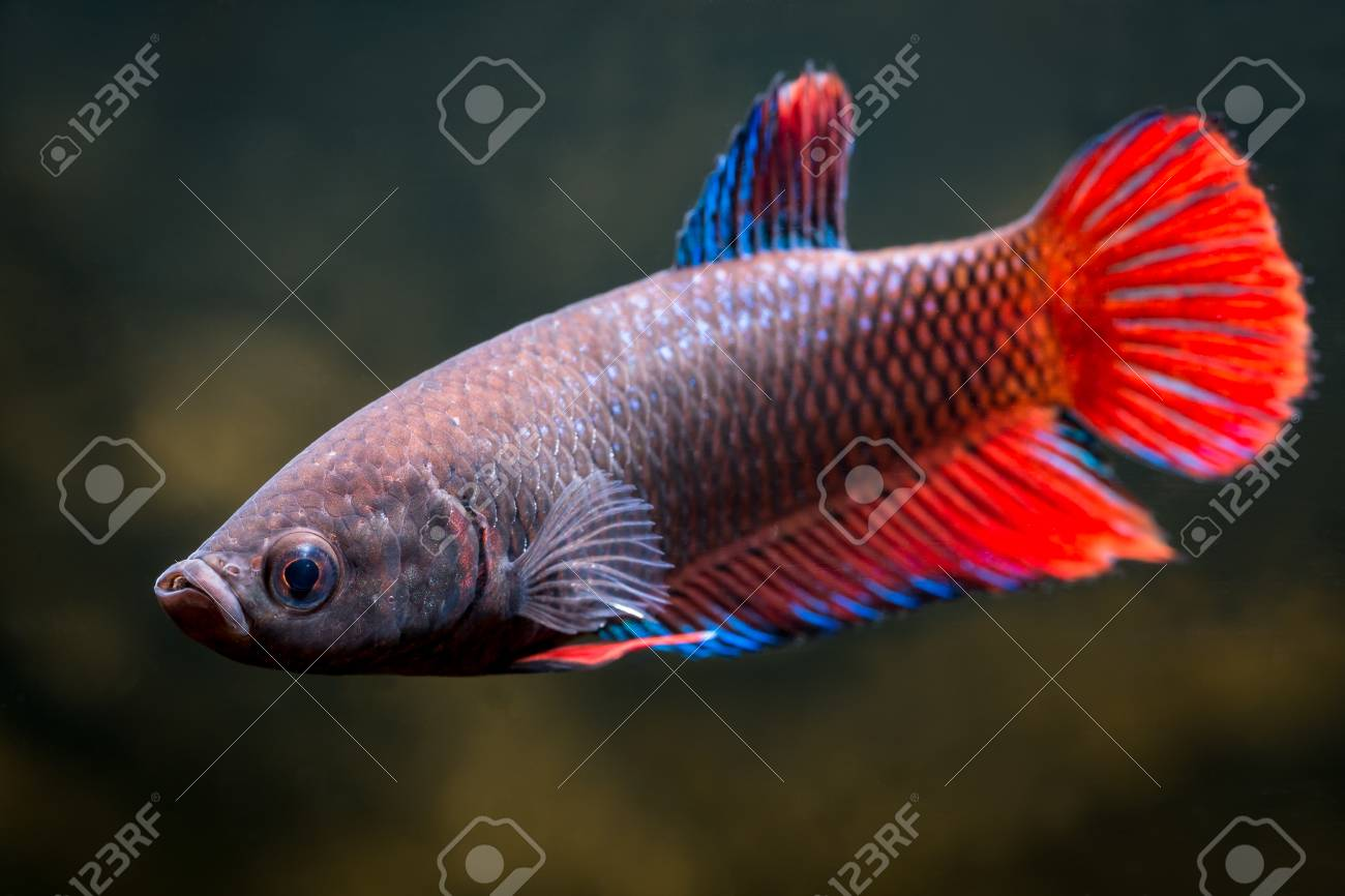 Female Common Betta Fish Stock Photo, Picture And Royalty Free Image ...