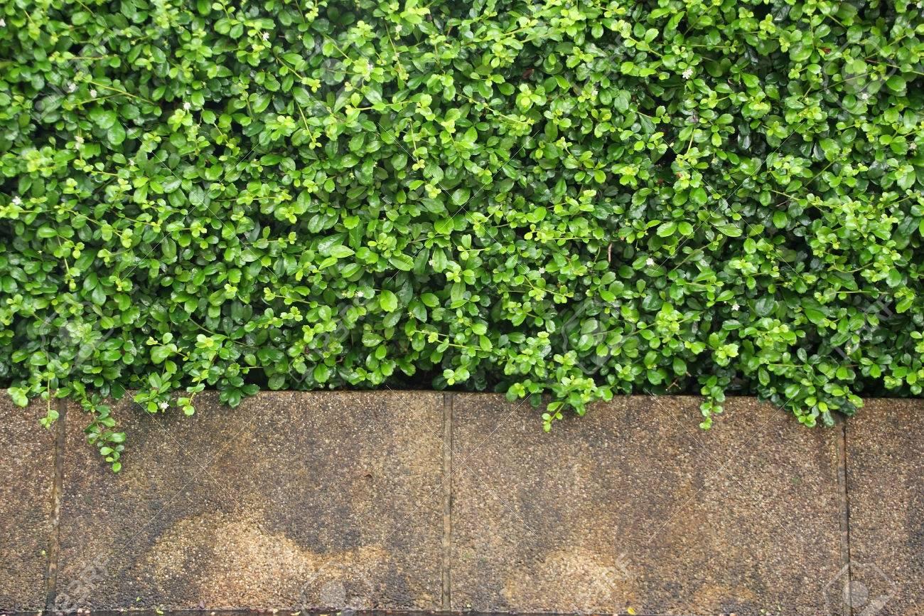 Frische Pflanzen Wand Für Hintergrund Lizenzfreie Fotos, Bilder Und ...