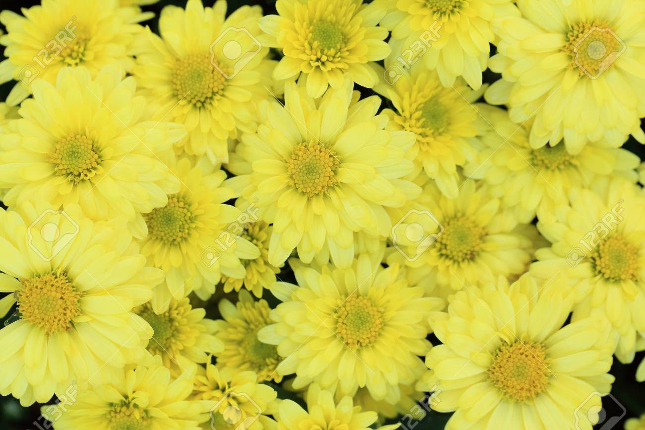 Yellow Chrysanthemum Flowers Bouquet For Background Stock Photo