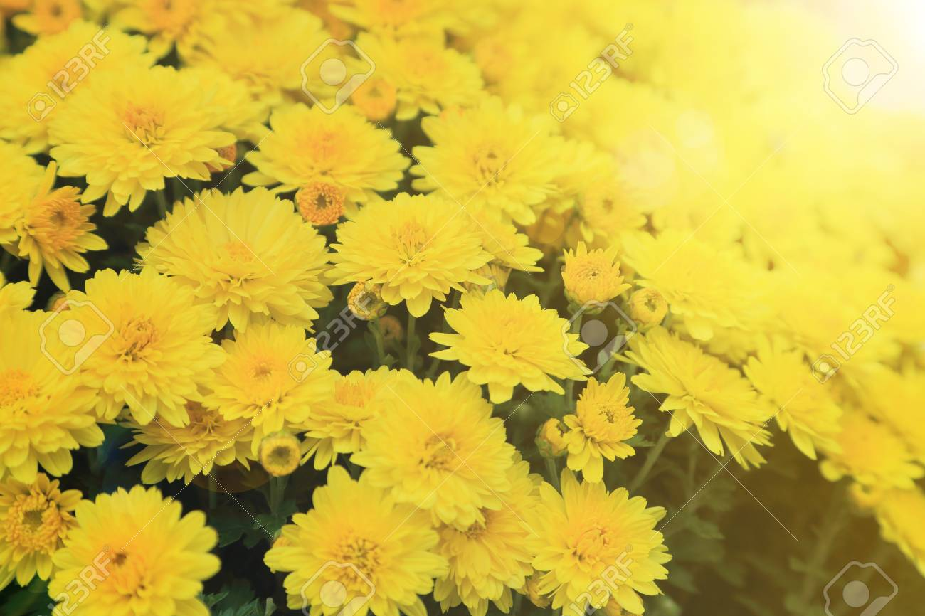 Yellow Chrysanthemum Flowers Bouquet With Light Flare For Background