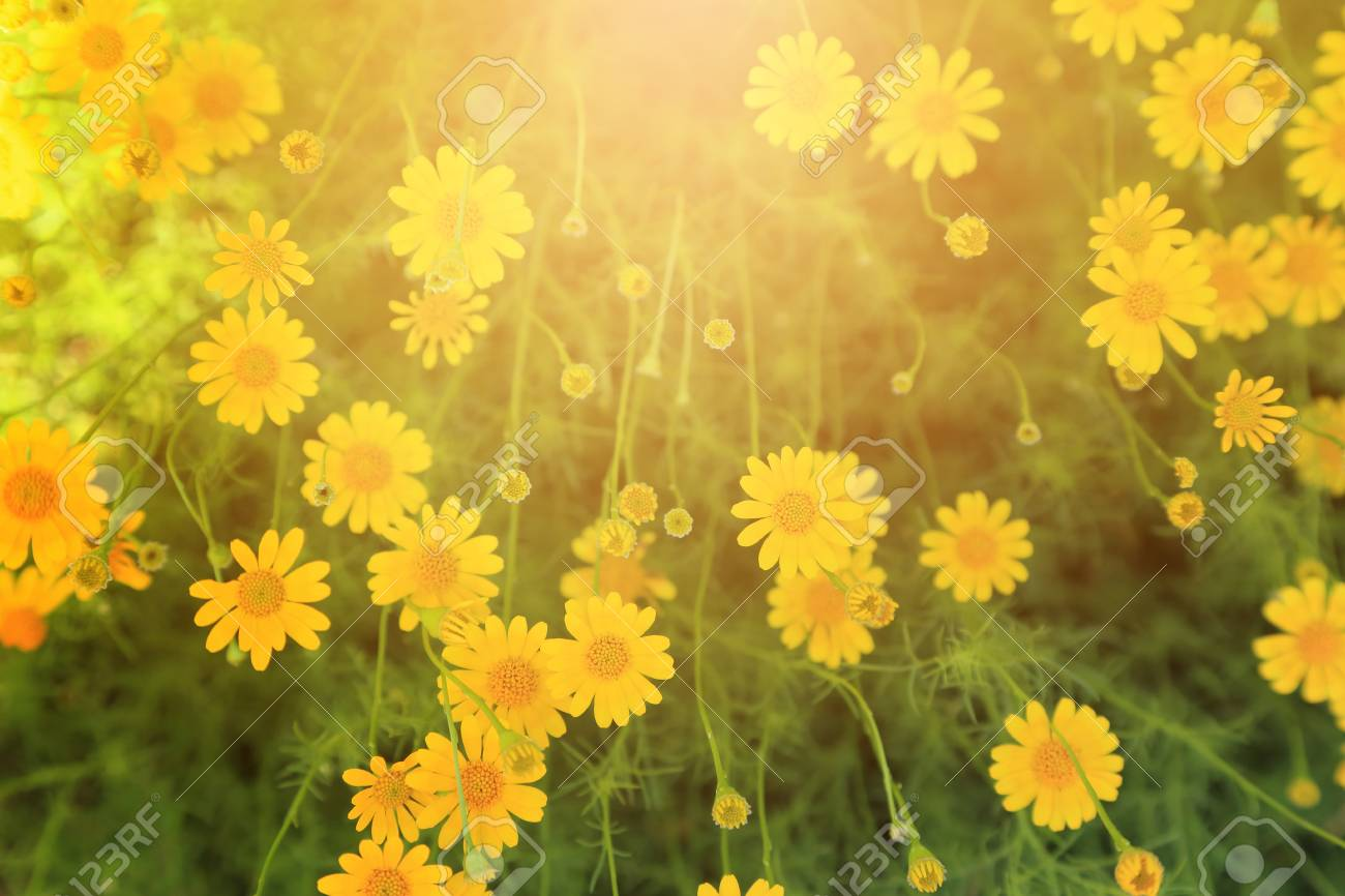 Yellow Flowers Field With Warm Light Flare For Background Stock