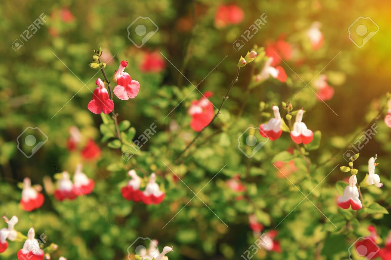 Bright Red And White Flowers Of Salvia Microphylla Hot Lips Cultivar