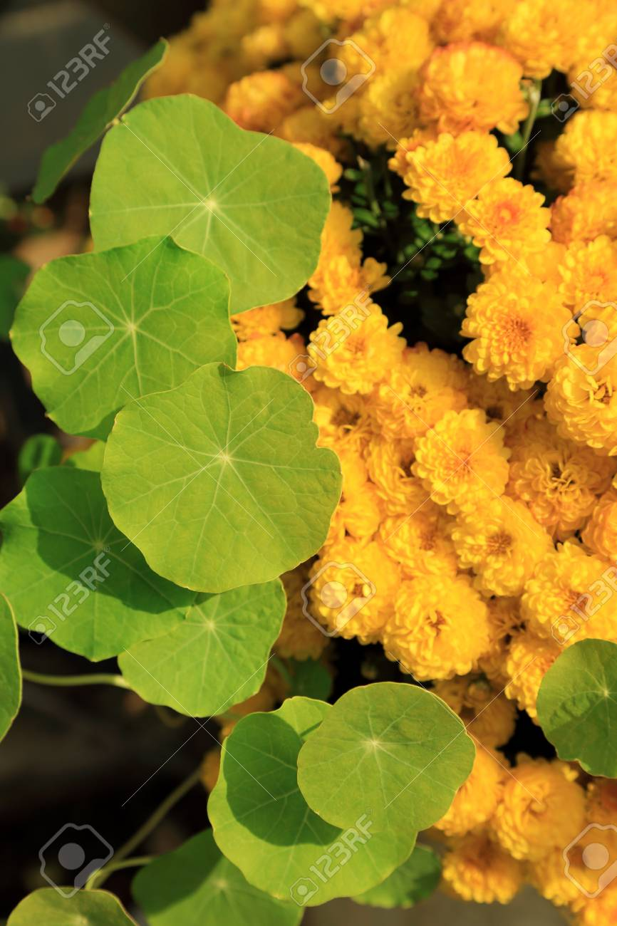Green Water Pennywort Plant Leave And Yellow Chrysanthemum Flowers