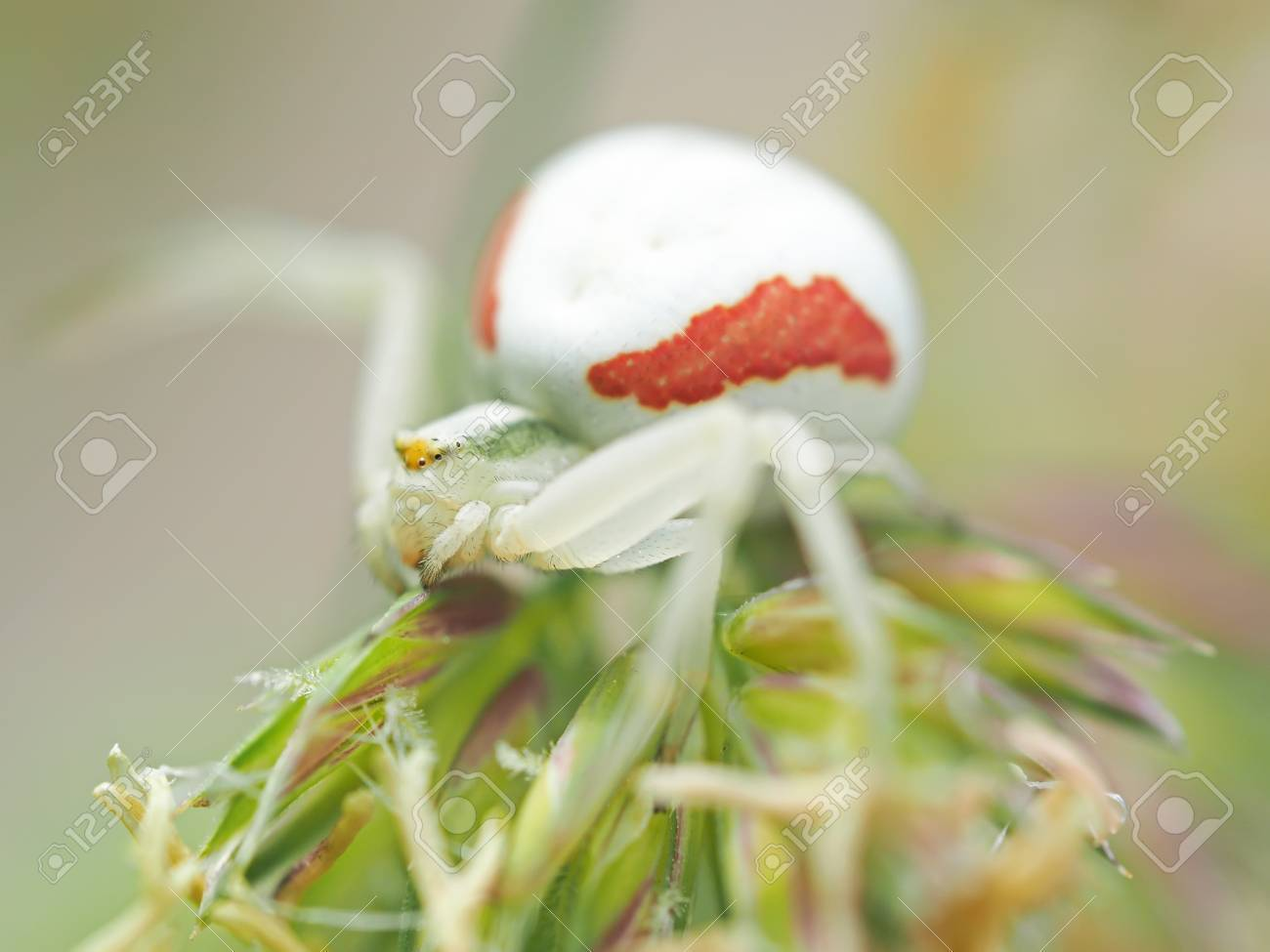 クモ 白い