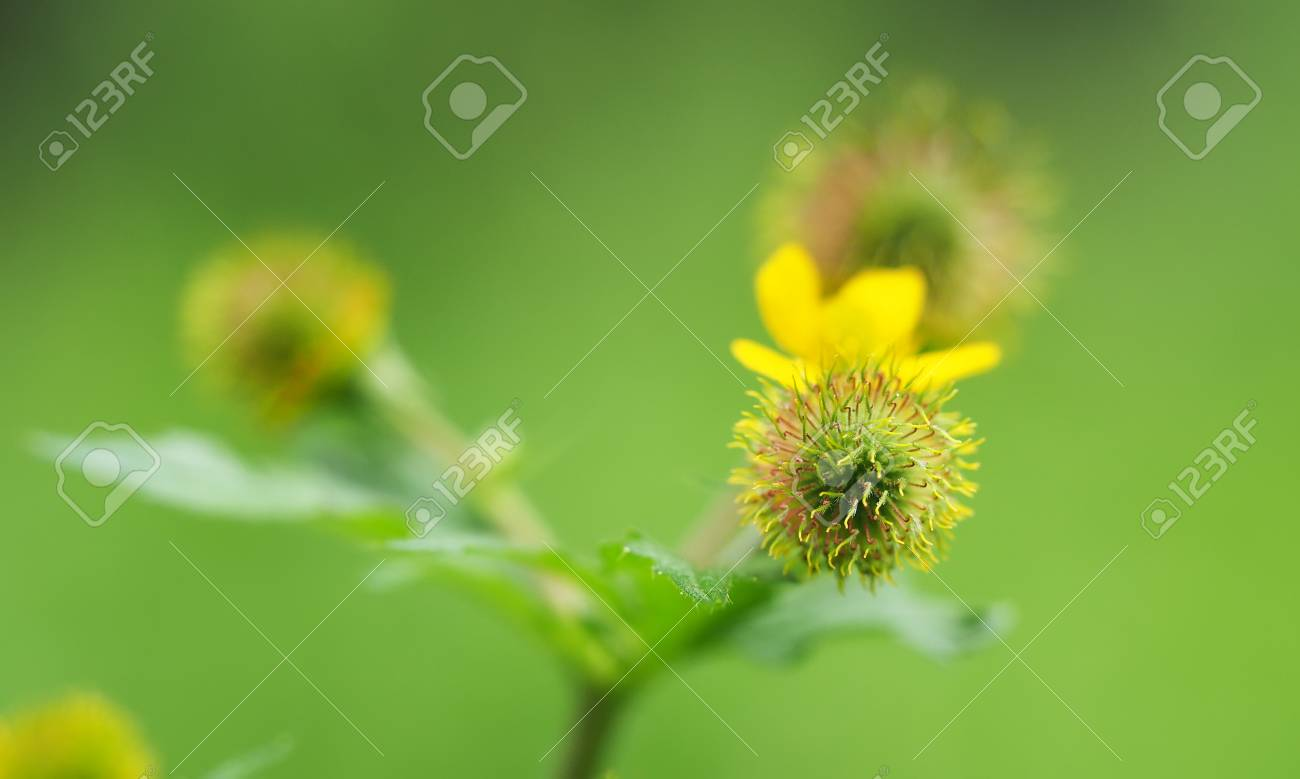 Yellow flower balls in the forest stock photo picture and royalty stock photo yellow flower balls in the forest mightylinksfo