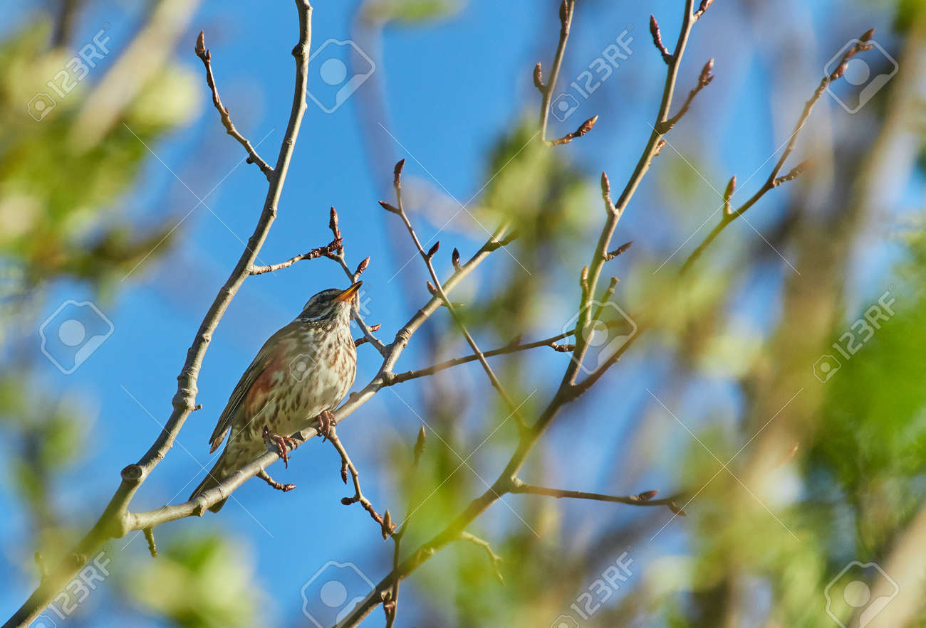 thrush on tree branches. forest - 155546750