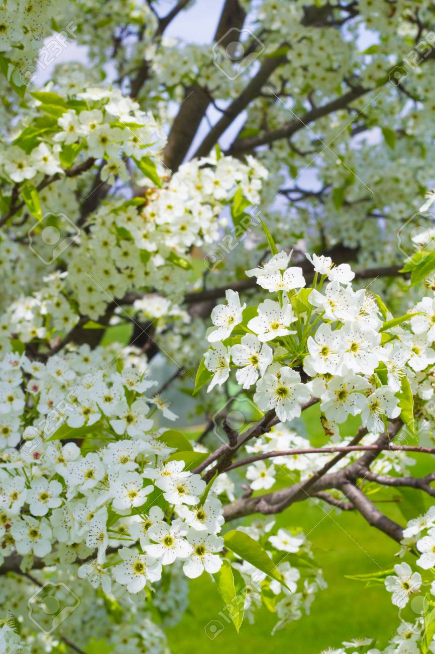 Blooming Bunches Of Flowers On An Ornamental Pear Tree In The