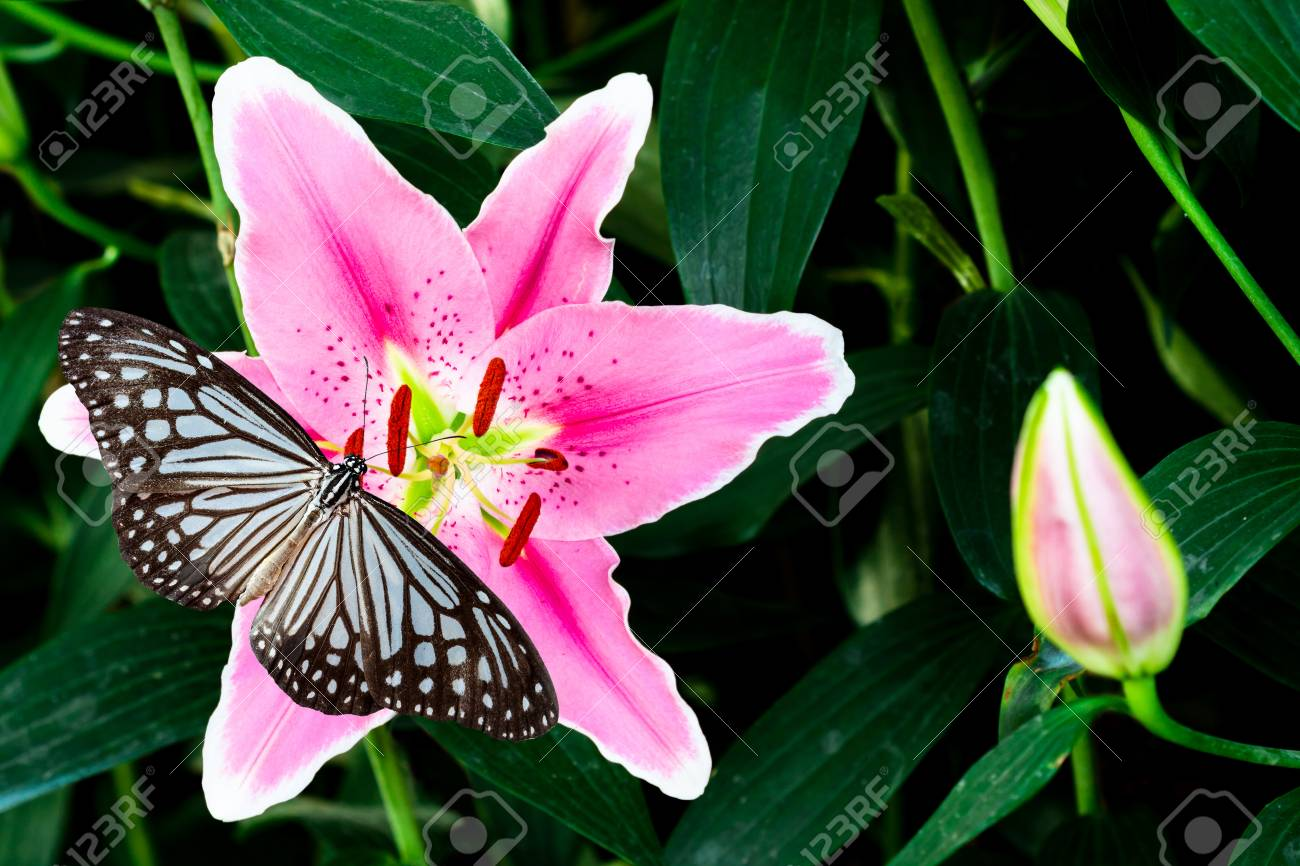 abba531a8 pink lily flower with butterfly on green background Stock Photo - 71224952