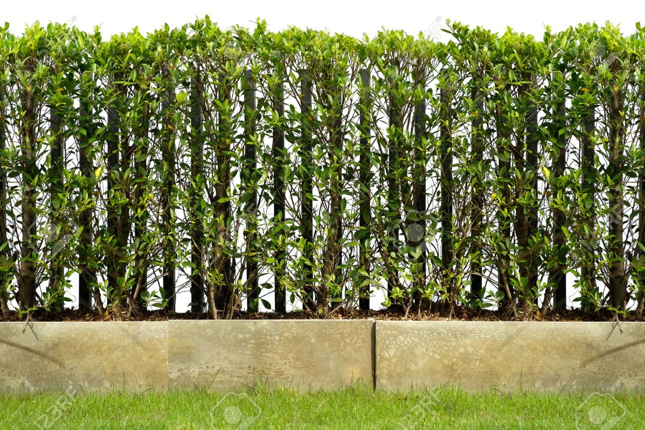 Hecke Werden In Zementtopf Als Zaun Zusammen Mit Rasenflache Mit