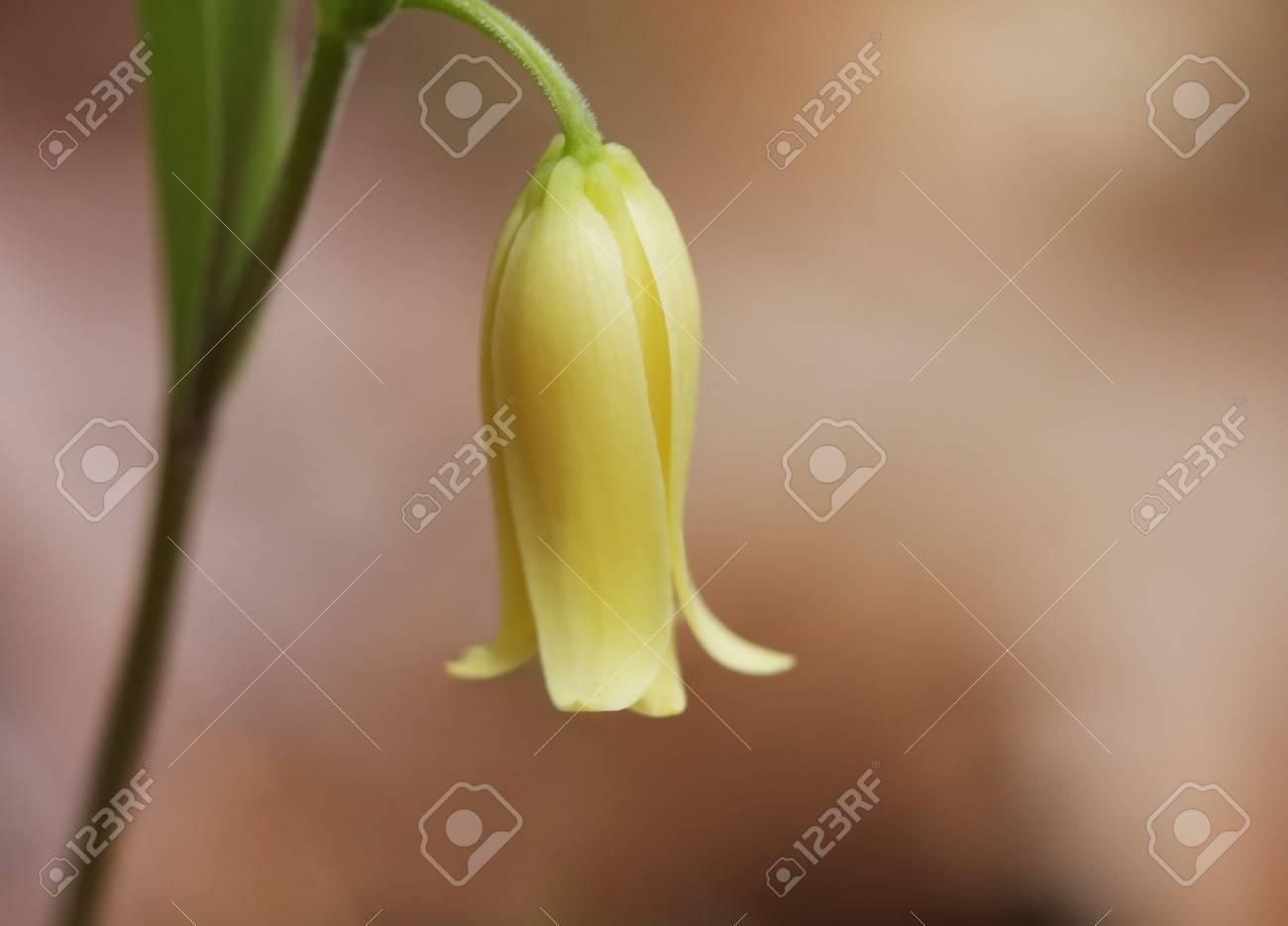Sessile Leaf Bellwort Sessile Leaf Bellwort
