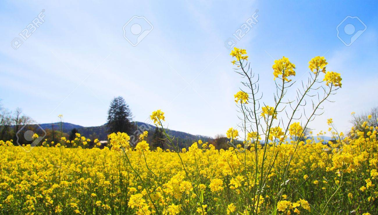 Spring field landscape with yellow flowers and blue sky with stock spring field landscape with yellow flowers and blue sky with clouds stock photo 4755600 mightylinksfo