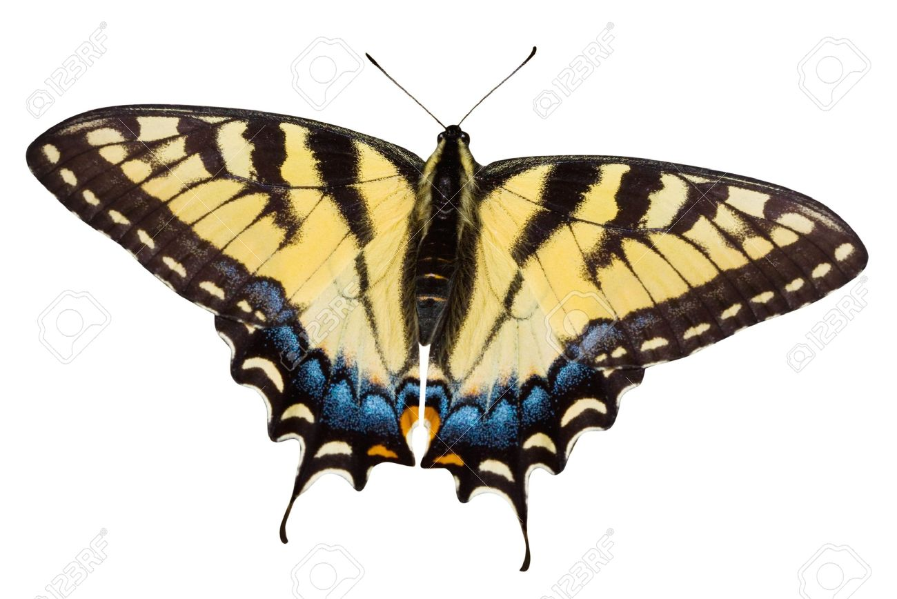 tiger swallowtail butterfly stock photo picture and royalty free