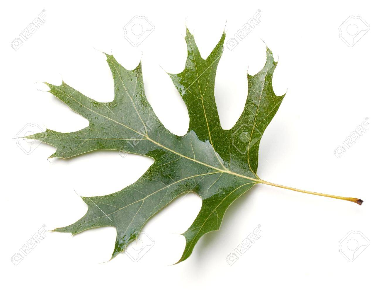 Quercus tree images & stock pictures. royalty free quercus tree