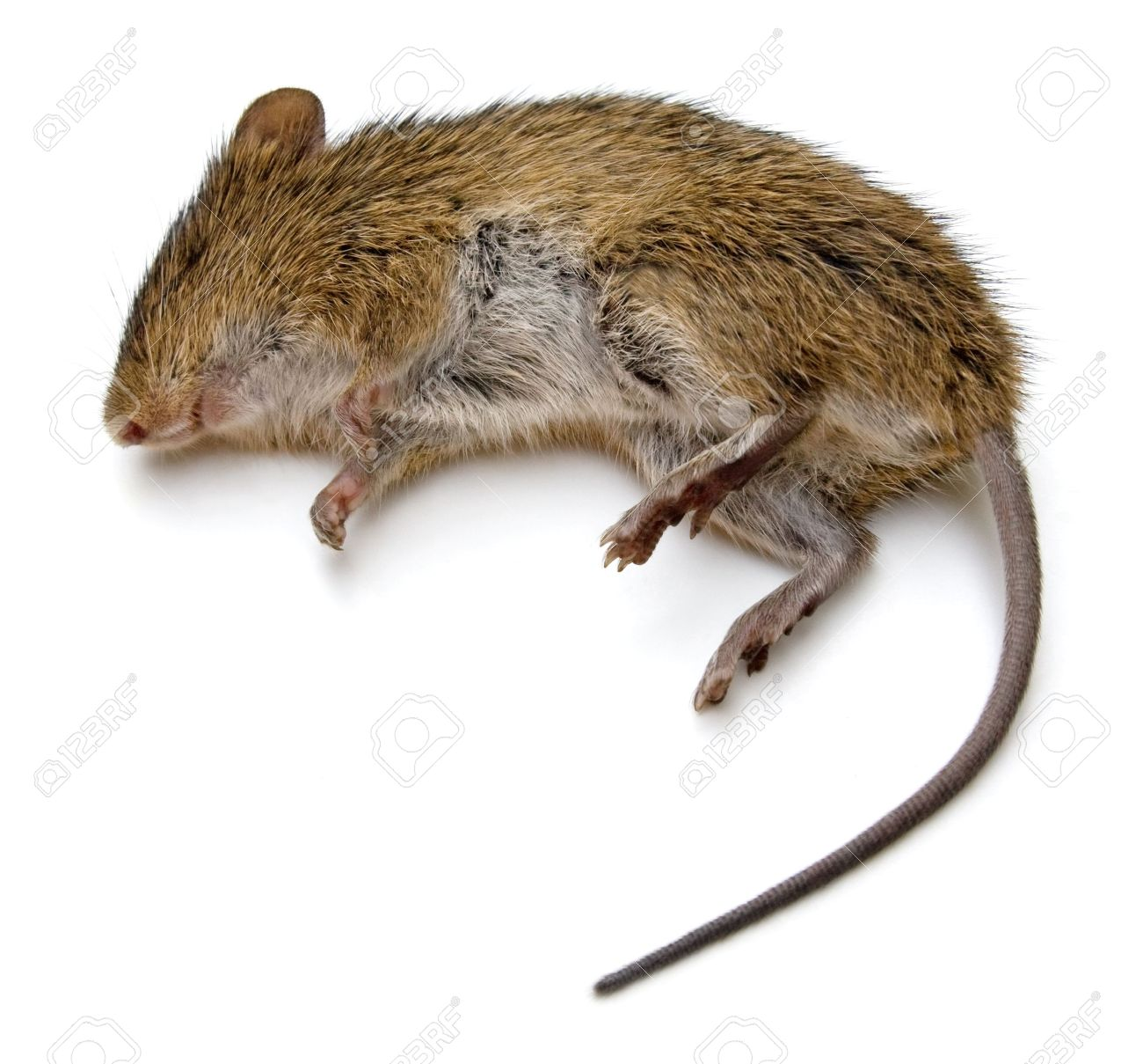 Dead rat isolated on a white background. Stock Photo - 7276931