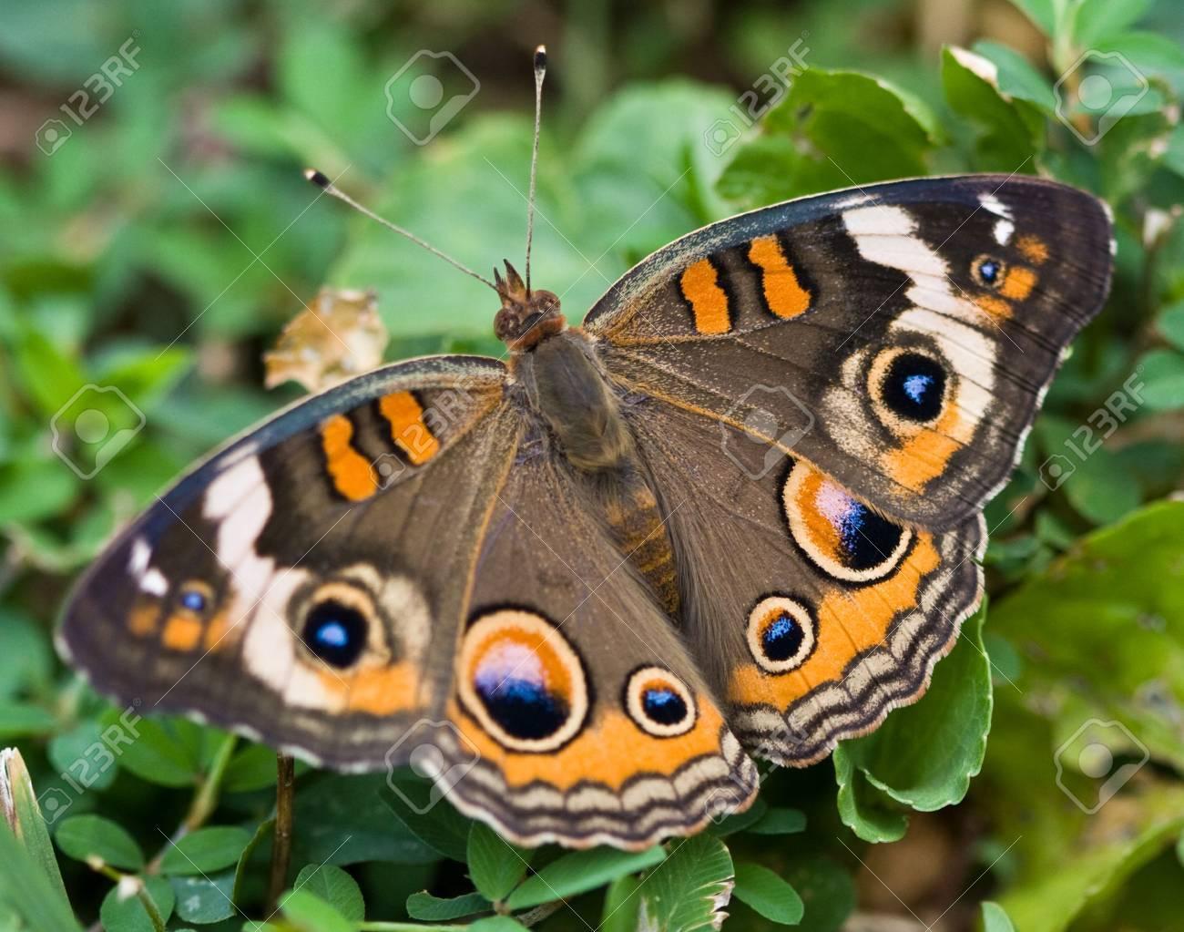 一般的なバックアイ蝶 (アメリカ...