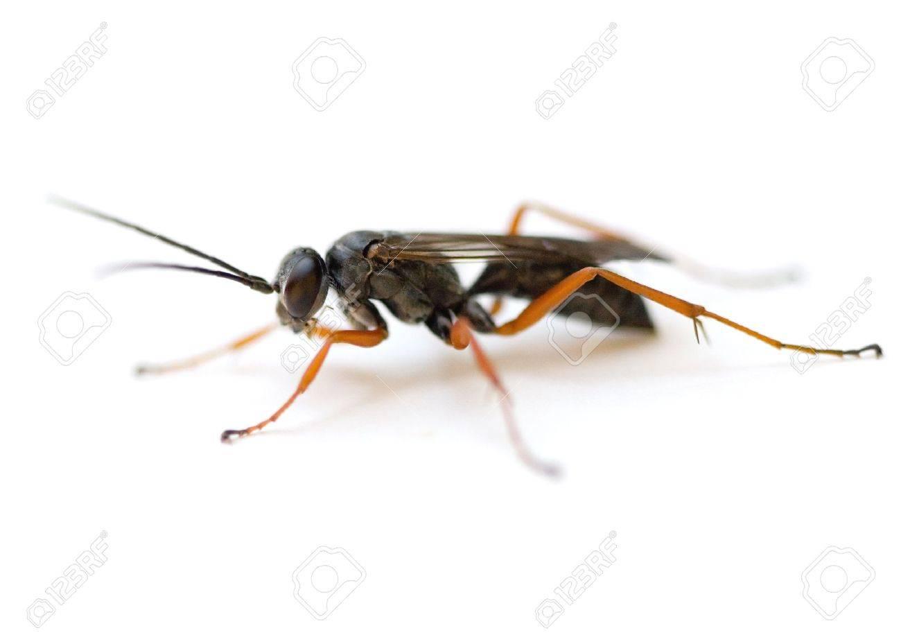 Spider Wasp (Auplopus mellipes) isolated on white background. Stock Photo - 7493382