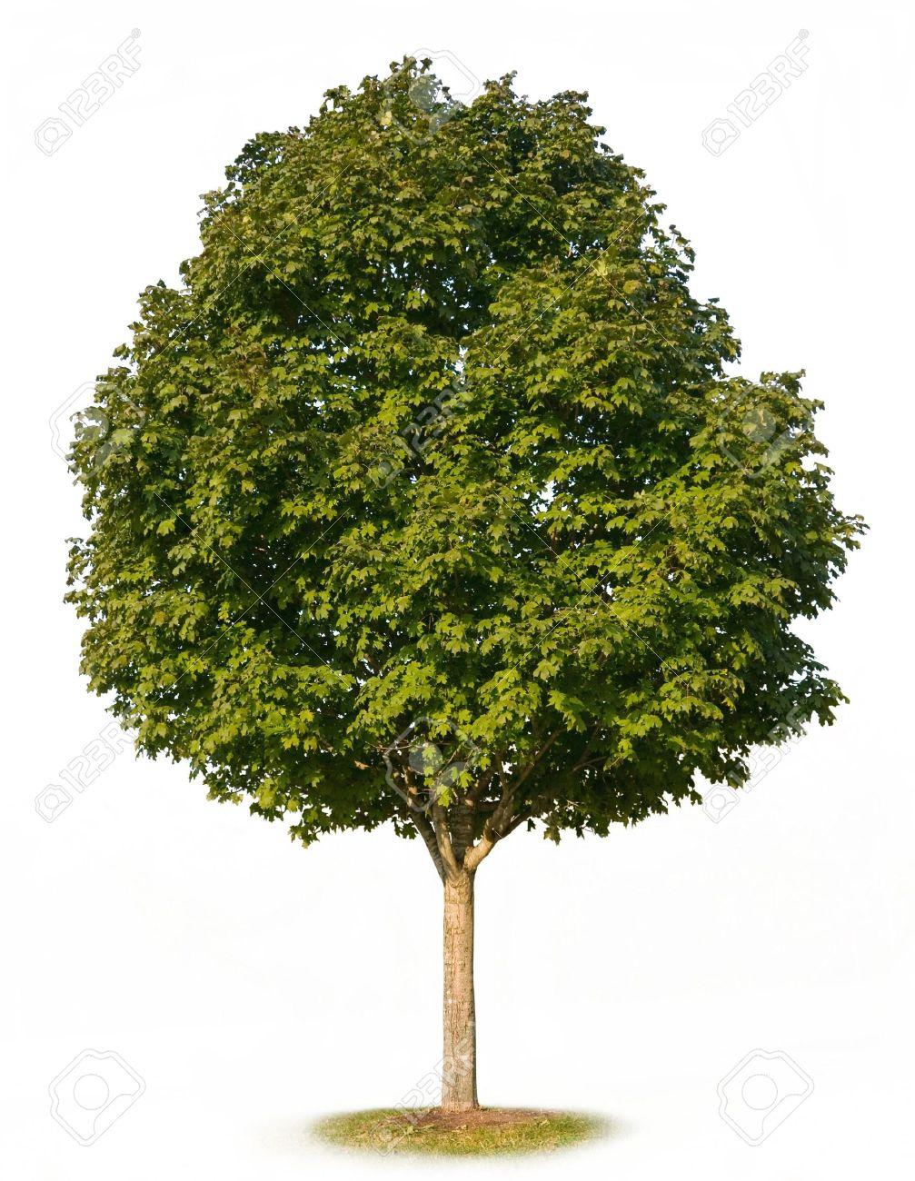 Sugar Maple Tree Acer Saccharum Isolated On White Background